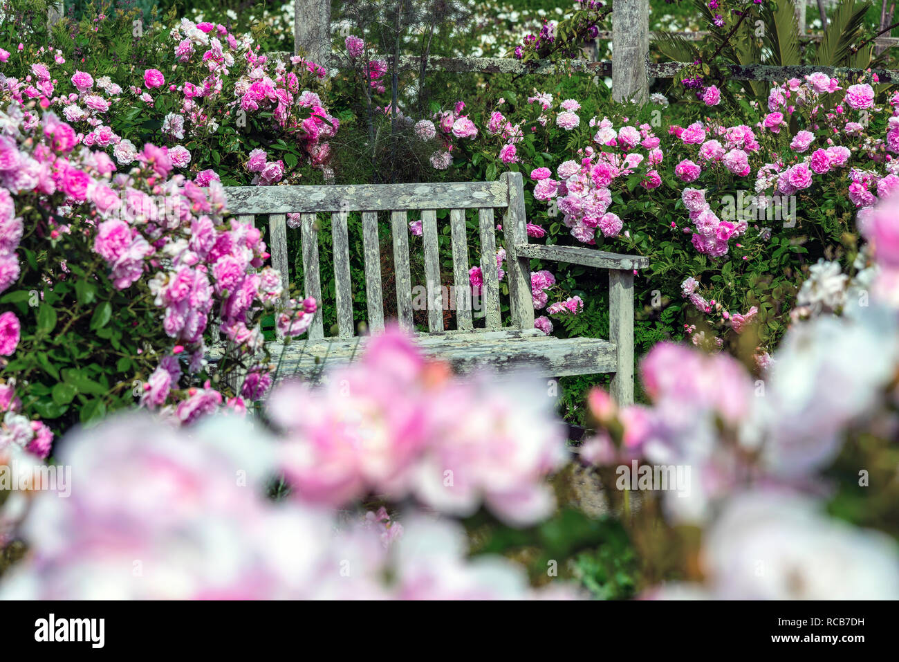 Old garden bench surrounded by pink flowering roses in traditional English garden, Sussex, South of England, UK - Stock Image