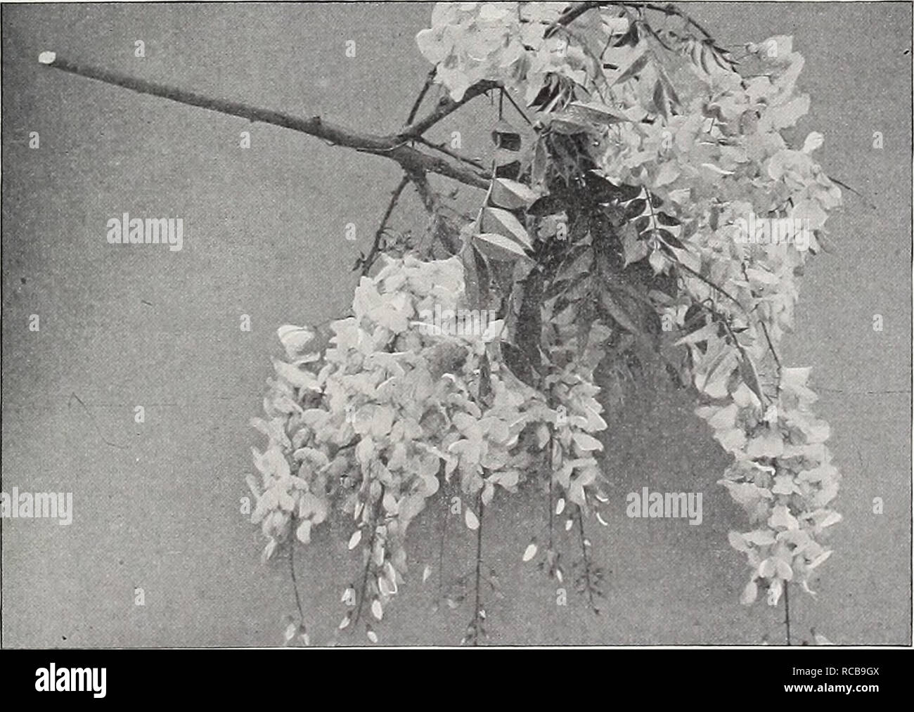 . Ellwanger & Barry : Mount Hope nurseries. GENERAL CATALOGUE. 95 PERIPLOCA. Silk Vine. Schlinge, Ger. P. Graeca. Native of Southern Europe. A rapid-growing beautiful climber. Will twine around a tree or other support to the height of 30 or 40 feet. Fol- iage glossy, and purple brown axillary clusters of flowers. 35c. TECOMA. Trumpet Flower. Jasmintrompete, Ger. Bignone, Fr. T. radicans. American Climbing Trumpet Creeper A splendid, hardy, climbing plant, with large, trumpet-shaped scarlet flowrers in August. 35c. var. grandiflora. Large-flowered Trumpet Creeper. A rare and beautiful varie Stock Photo