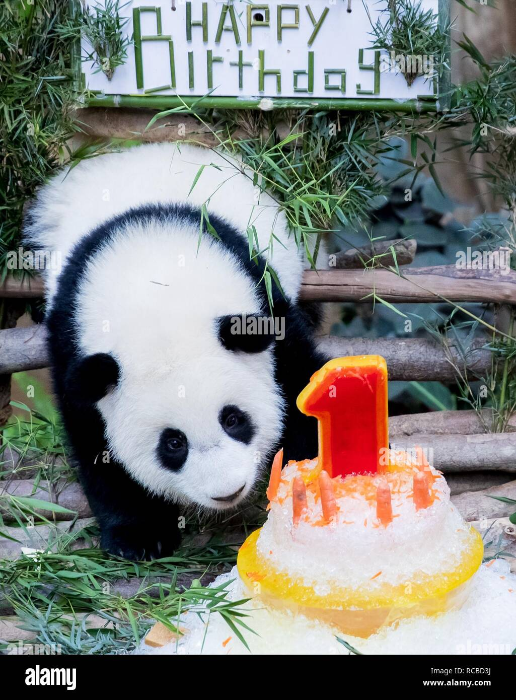 A Baby Giant Panda Tastes Her Birthday
