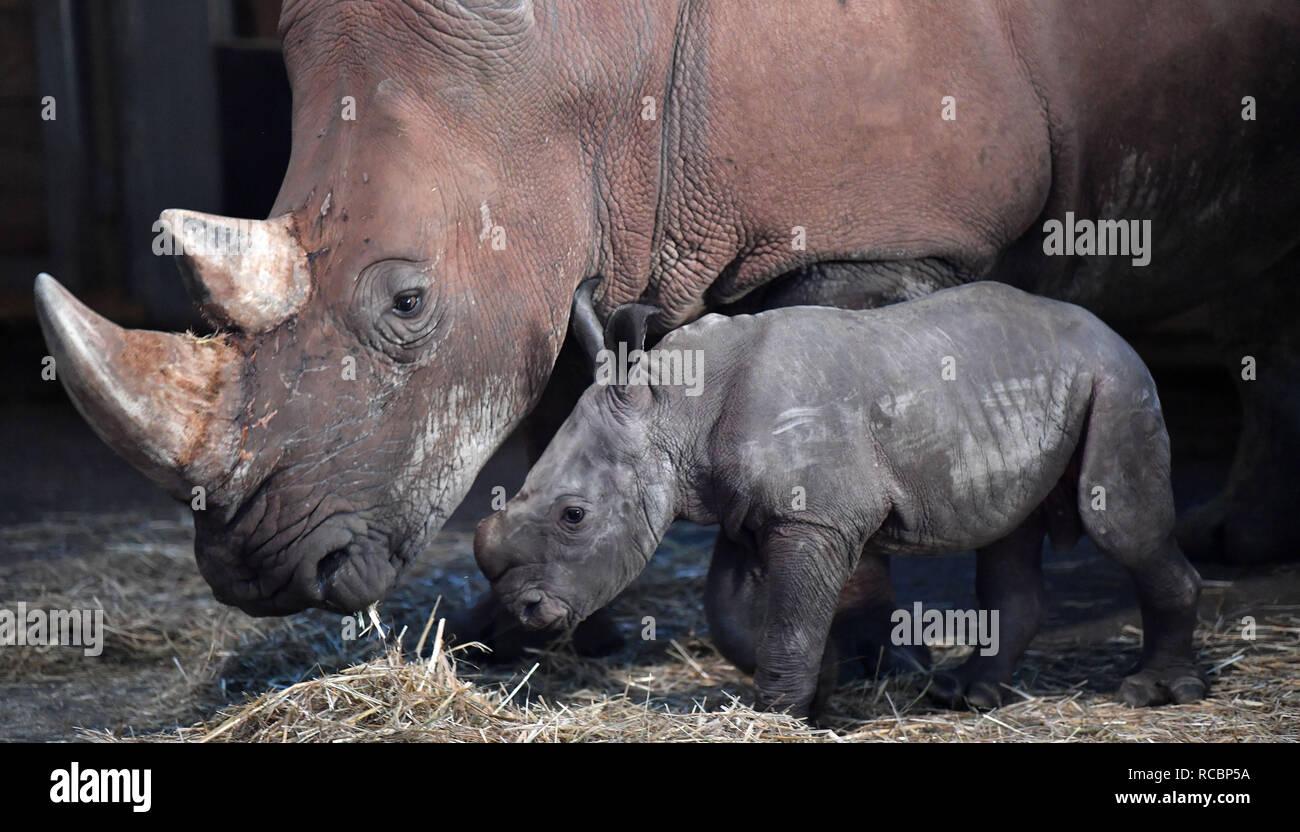 Erfurt, Germany. 15th Jan, 2019. Rhino mother Marcita and rhino baby Kiano walk through the rhino house in Erfurt's Zoopark. Kiano was born at the end of December. Credit: Martin Schutt/dpa-Zentralbild/dpa/Alamy Live News - Stock Image