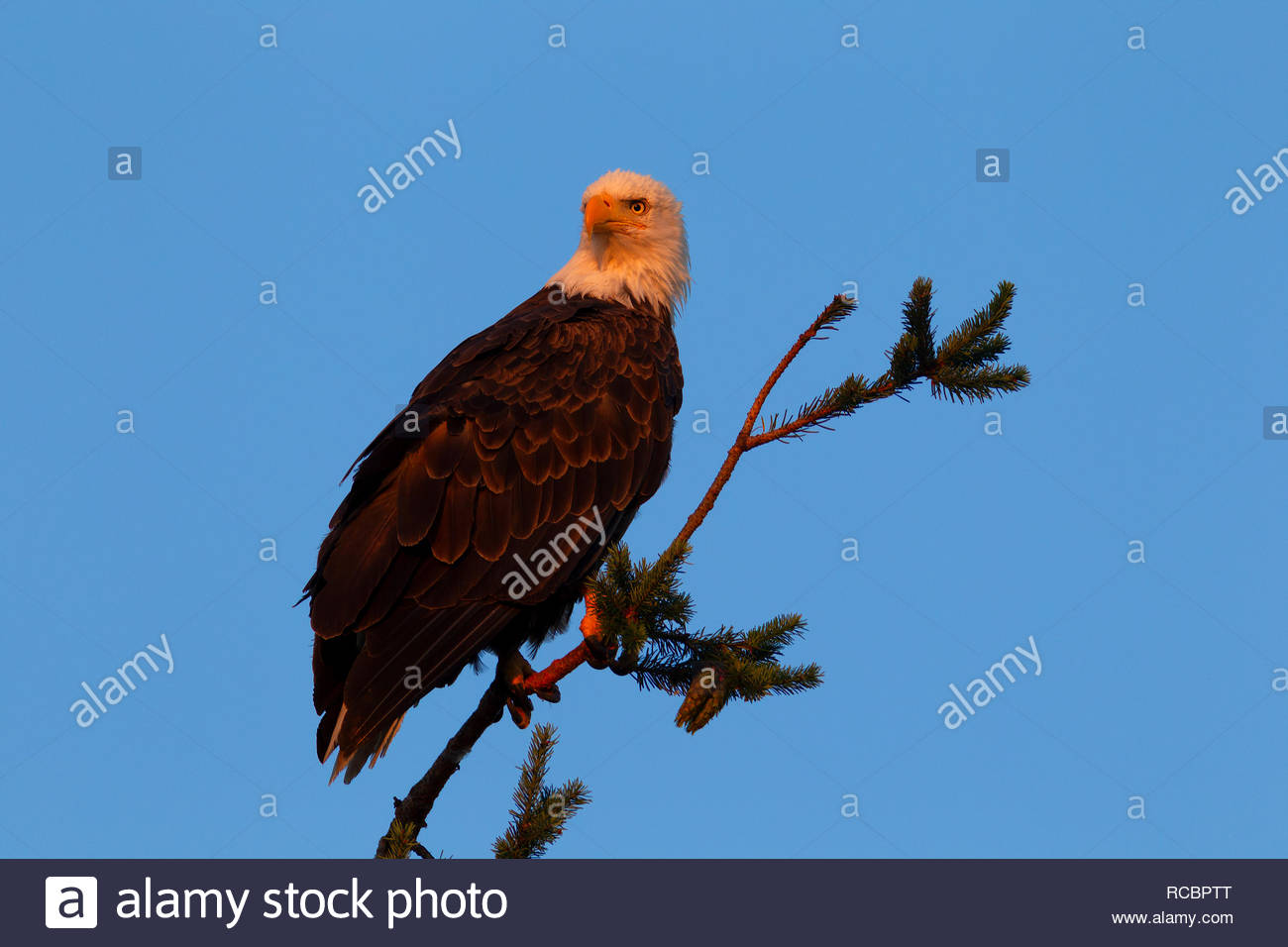 A bald eagle (Haliaeetus leucocephalus) hunts at sunrise from a perch in a tree in Heritage Park, Kirkland, Washington. - Stock Image