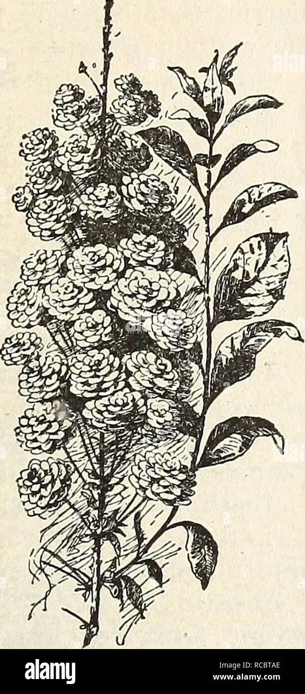 . Ellwanger & Barry's general catalogue : Mount Hope nurseries. GENERAL CATALOGUE. m Sambucus (Elder). var. pyraniidalis. C. 50 cents. var. variegata. Variegated-leaved El- der. 35 cents. Spirsea. (Meadow-Sweet). The Spiraeas are all elegant, low shrubs, of the easiest culture, and their blooming- extends over a period of three months. ariaefolia. WHITE-BEAM LEAVED Spir^A. D. Flowers greenish white in July. 50 cents. Billardi. Billard's Spir^a. D. Rose- colored. 35 cents. Bluiiiei. D. Deep rose-colored flowers. June and July. 35 cts. crenata. D. Dwarf. Flowers dull white; in June. 35 cents - Stock Image