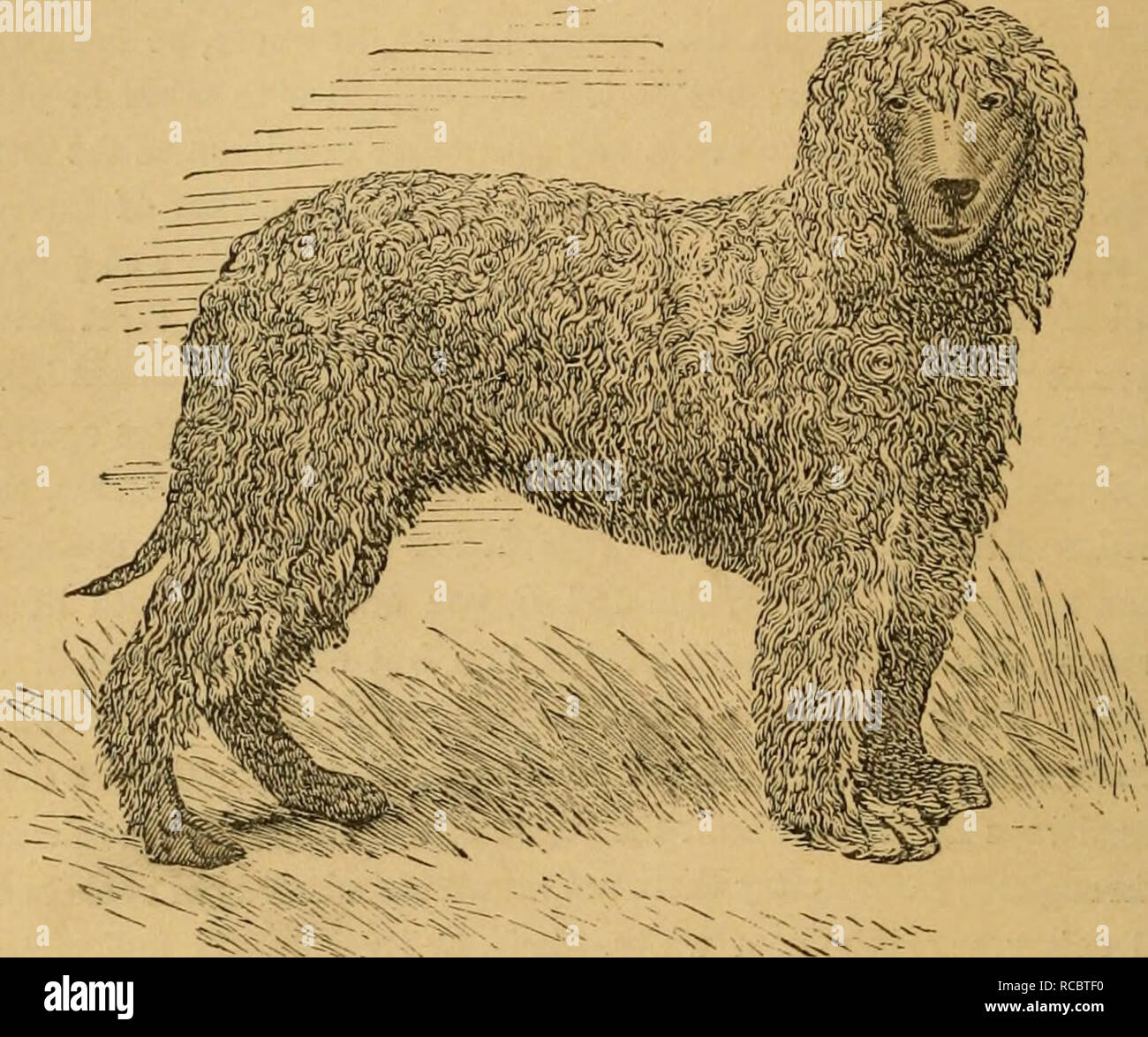 . The dogs of Great Britain, America, and other countries. Their breeding, training, and management in health and disease, comprising all the essential parts of the two standard works on the dog. Dog. [from old catalog]. 120 DOMESTICATED DOGS FOR THE GUJf.. Fig. 31.—IKISH WATER SPANIEL, KAKE. THE WATER SPANIEL. Wate?- Spaniels are commonly said to have web-feet, and this point is often made a ground of distinction from other dogs, but the fact is that all dogs have their toes united by membranes in the same way, the only distinction between the water and land dogs being that the former have la - Stock Image