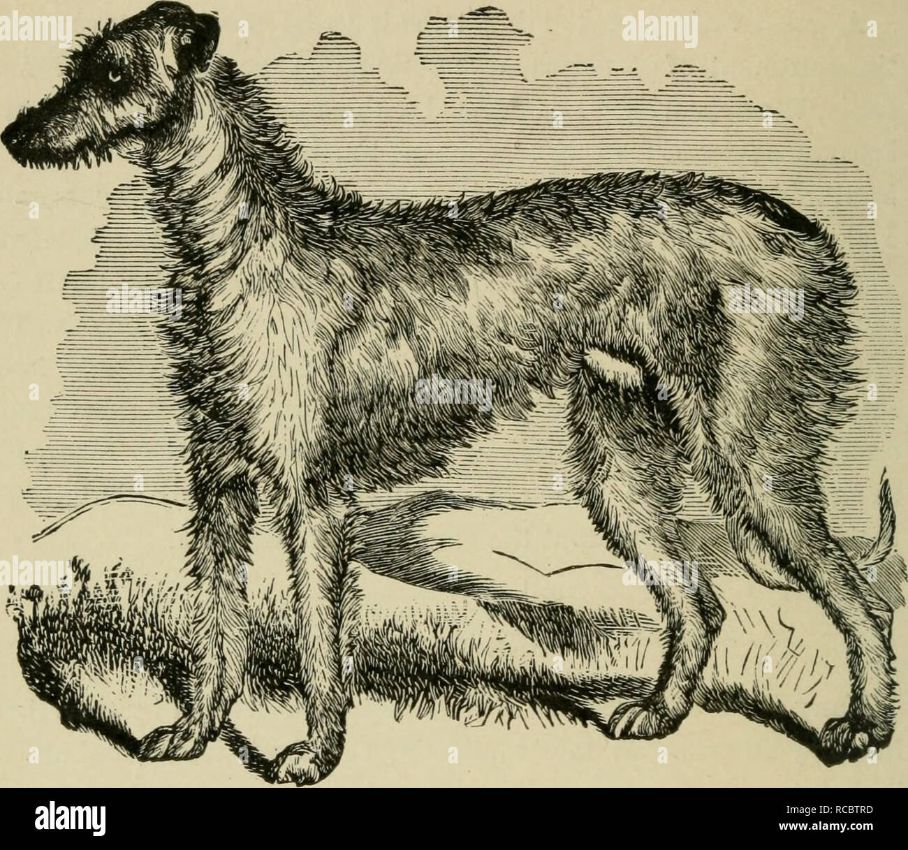 . The dogs of Great Britain, America, and other countries. Dog. [from old catalog]. Fig. 3.—DEERHOUND, BRAN. CHAPTEK III. DOMESTICATED DOGS HUNTING CHIEFLY BY THE EYE, AND KILLING THEIR GAME FOR MAN'S USE. THE ROUGH SCOTCH GREYHOUND AND DEERHOUND.—THE SMOOTH OR ENGLISH GREYHOUND. —THE GAZEHOUND. — THE IRISH GREYHOUND, OR WOLF-DOG.—THE FRENCH MATIN—THE HARE-INDIAN DOG—THE ALBANIAN DOG.—THE GRECIAN GREYHOUND.—THE TURKISH GREY- HOUND.—THE PERSIAN GREYHOUND—THE RUSSIAN GREYHOUND.—THE ITALIAN GREYHOUND. THE ROUGH SCOTCH GREYHOUND AND DEERHOUND. This breed of dogs is, I believe, one of the oldest an Stock Photo