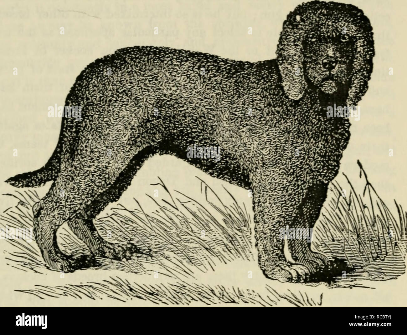 . The dogs of Great Britain, America, and [other] countries : their breeding, training, and management in health and disease,comprising all the essential parts of the two standard works on the dog. Dogs. 118 dome..ti(j..t::i) dogs fou the g0K.. Fig. 21.—IRISH WATER SPANIEL, KAKE. THE WATER SPANIEL. WaUr Spaniels are commonly said to have web-feet, and this point is often made a ground of distinction from other dogs, but tlie fact is that all dogs have their toes united by membranes in the same way, the only distinction between the water and land dogs being that the former liave larger feet, an - Stock Image