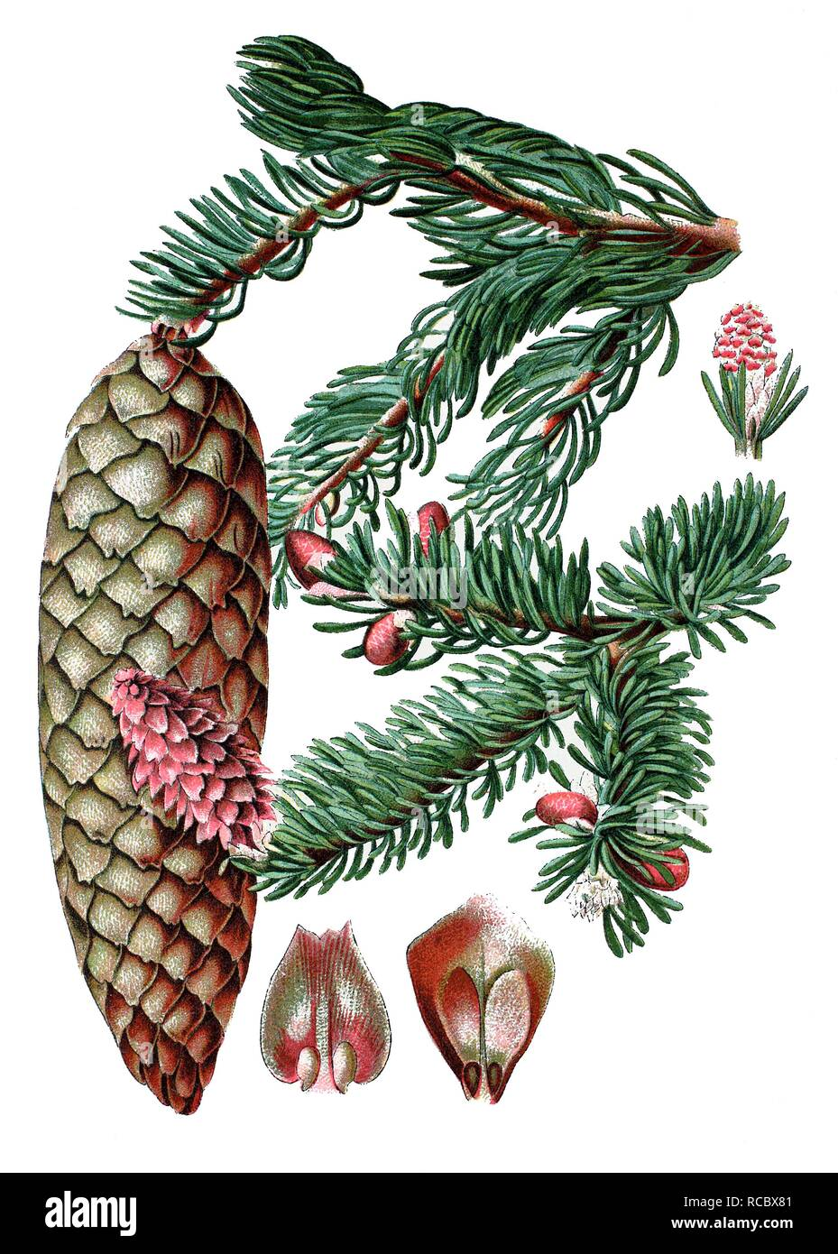 Norway spruce (Pinus abies), medicinal plant, historical chromolithography, 1870 - Stock Image