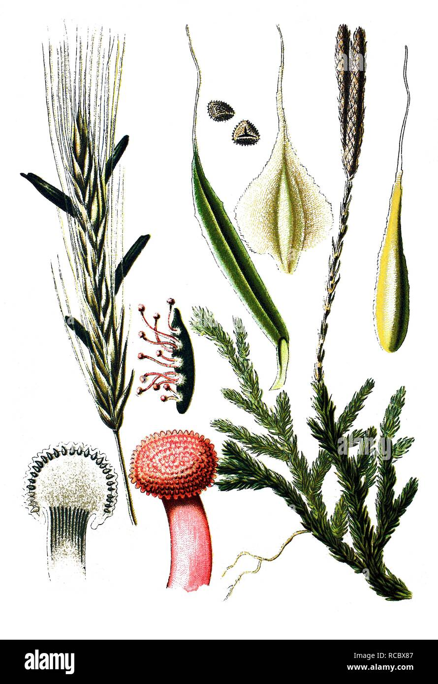 Ergot (Claviceps purpures), left, Wolf's-foot Clubmoss or Groundpine (Lycopodium clavatum), right, medicinal plants - Stock Image
