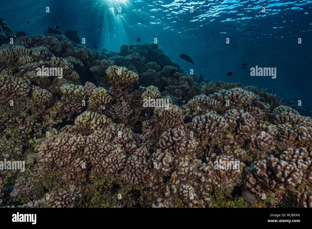 An early morning dive on a tropical reef is always something special. Sunrays dancing on the surface cast the coral in an eerie light as a large Napol Stock Photo
