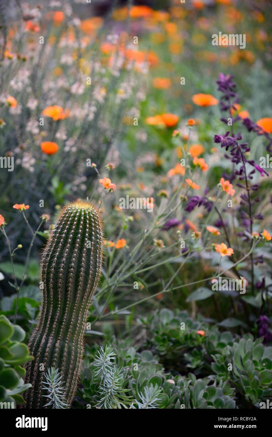 geum totally tangerine,cactus,echinocactus,linaria peachy,salvia love and wishes,mixed exotic planting scheme,orange flowers,flowering,perennial,peren - Stock Image