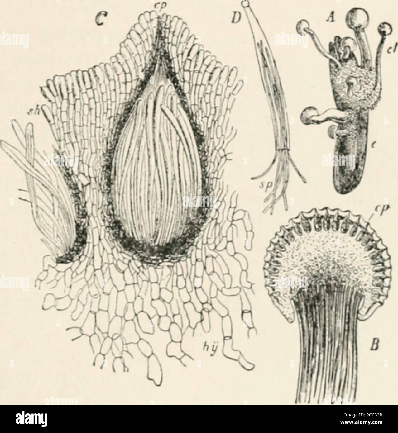 """. Diseases of plants induced by cryptogamuc parasites; introduction to the study of pathogenic fungi, slime-fungi, bacteria, and algae. English ed. by William G. Smith. Plant diseases; Parasitic plants. CLAVICEPS. 193 conidiophores. A very sweet fluid, the so-called """" houey-dew,"""" is separated from the sphacelia; this attracts insects, which carry the conidia to other flowers. Since the conidia are capable of immediate germination, and give rise to a mycelium which penetrates through the outer coat of the ovary, the disease can be quickly disseminated during the flowering season of th - Stock Image"""