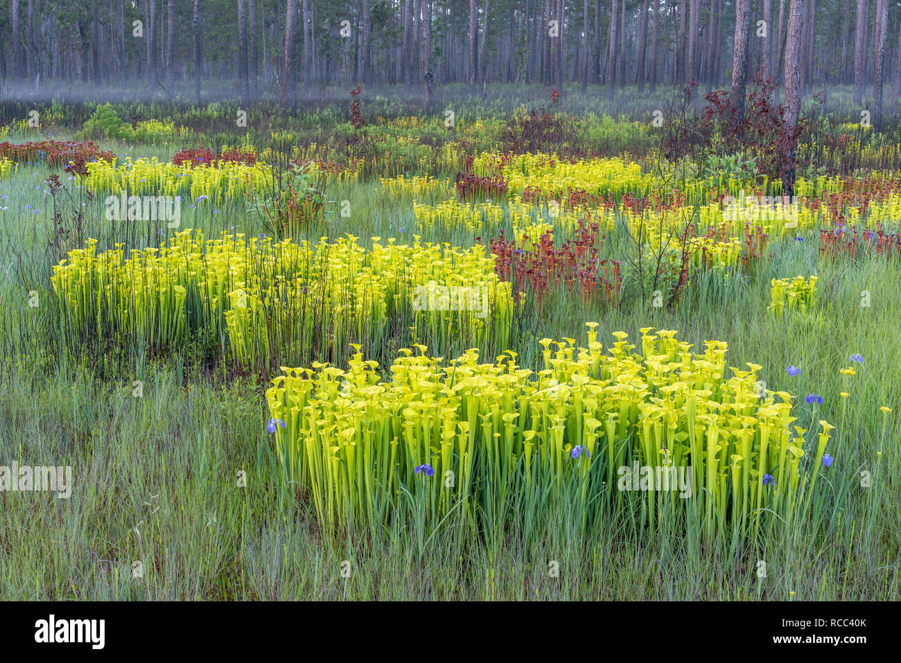 Yellow Trumpet Pitcher plants (Sarracenia flava) Post burn growth on a foggy morning along the perimeter of a carolina bay. Francis Marion NF, SC. - Stock Image