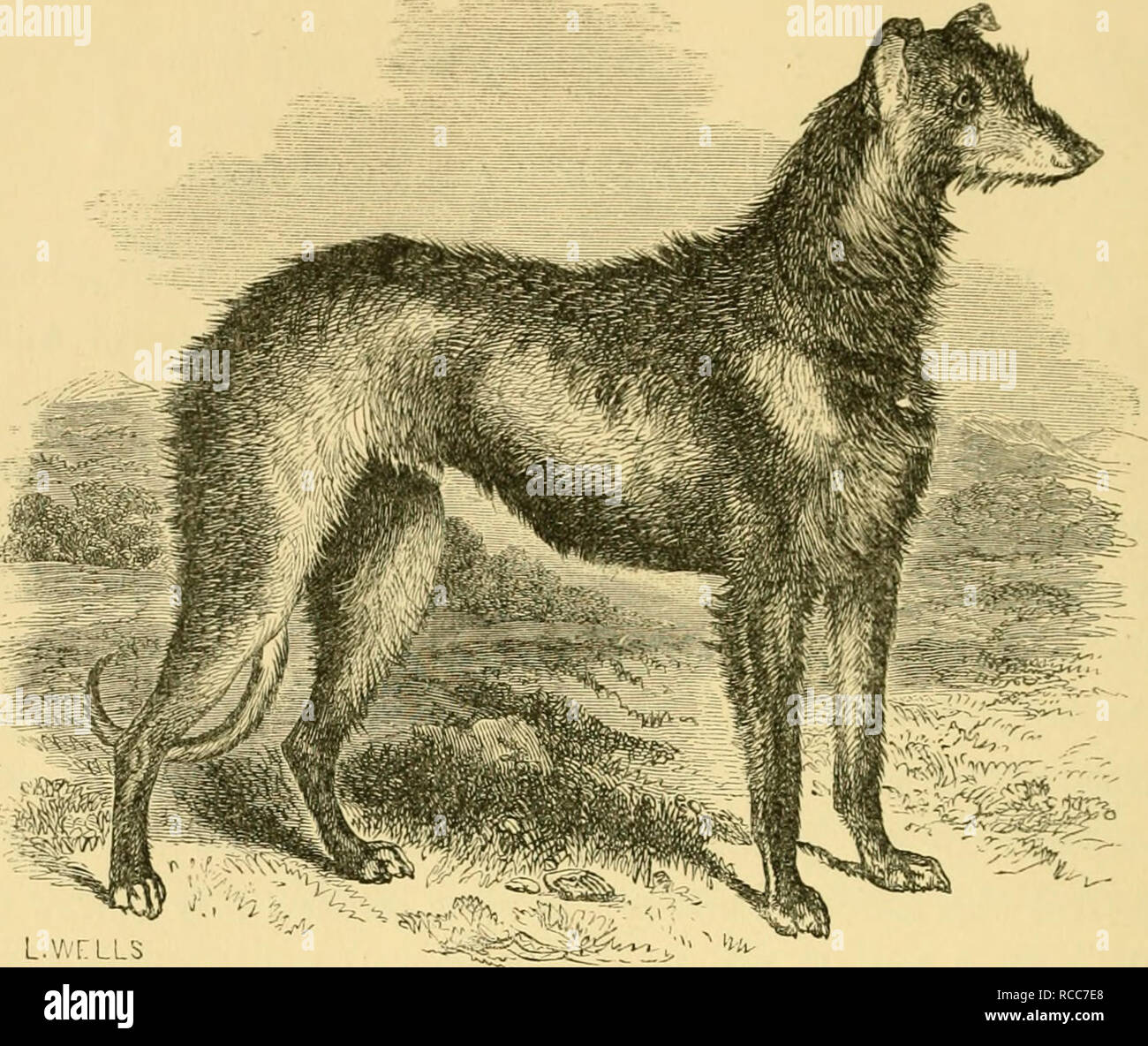 """. The dog in health and disease : comprising the various modes of breaking and using him for hunting, coursing, shooting, etc., and including the points or characteristics of toy dogs. Dogs; Dogs -- Diseases. L.VvTLLS """" C'ADEii."""" A Deerhound of the pure Glengarry breed, 28 inohos high, 34 inches in girth. Bred by W. ^leredith, Esq., Torrish, Sutherland. CHAPTER II. DOMESTICATED DOGS HUNTING CHIEFLY BY THE EYE, AND KILLING THEIR GAME FOR MAN'S USE. The Rough Scotch Grevhound and Deerhouud.—The Smooth or English Greyhound.—The Gazehound.—Tlie Irish Greyhound, or Wolf-dog.—The French Ma Stock Photo"""