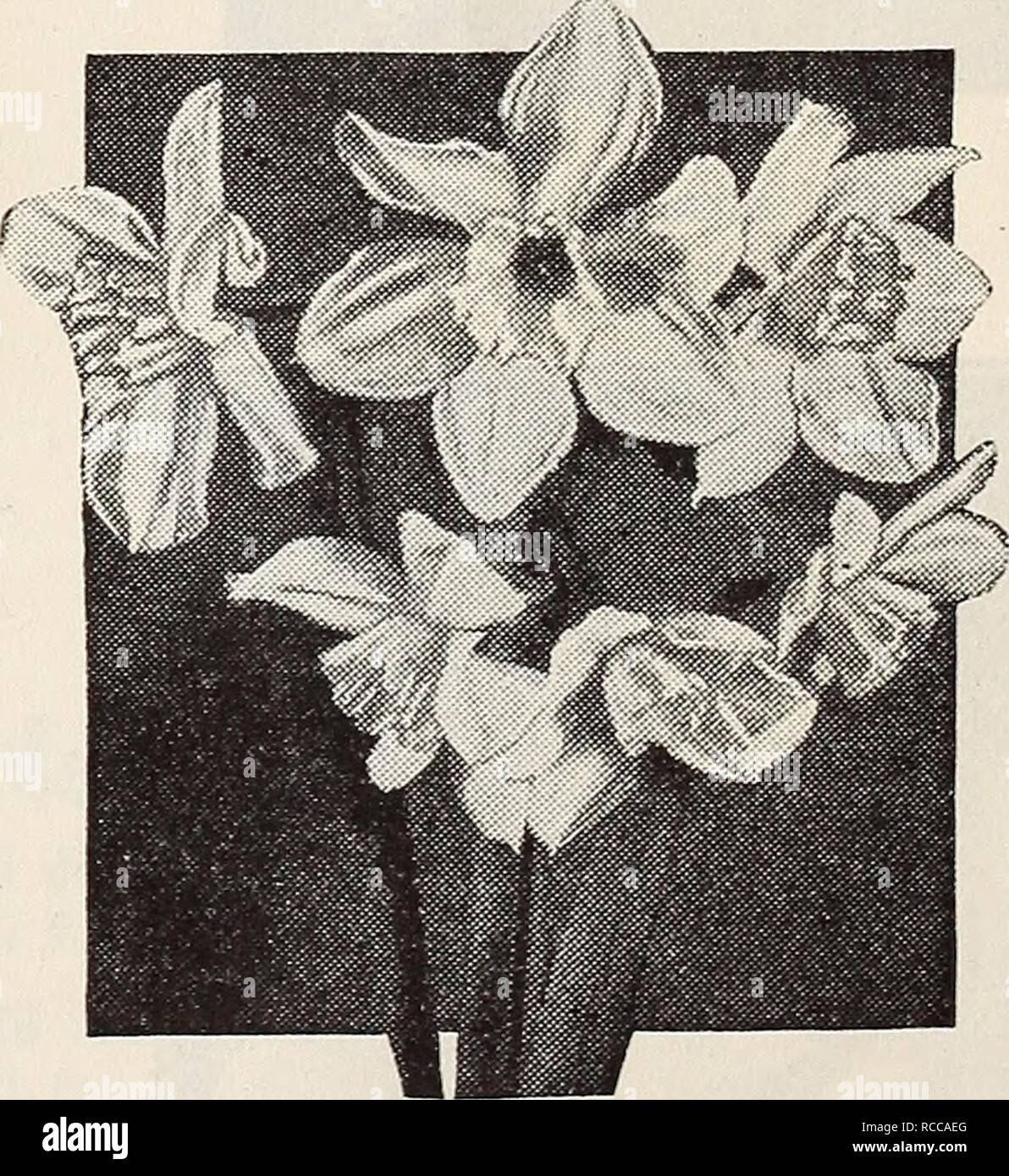 . Dreer quality seeds plants bulbs. Flowers Catalogs; Plants, Ornamental Catalogs; Bulbs (Plants) Catalogs; Nurseries (Horticulture) Catalogs. 3 for 45c Cheerfulness. Stella Polaris. Please note that these images are extracted from scanned page images that may have been digitally enhanced for readability - coloration and appearance of these illustrations may not perfectly resemble the original work.. Henry A. Dreer (Firm); Henry G. Gilbert Nursery and Seed Trade Catalog Collection. Philadelphia, Pa. : Henry A. Dreer - Stock Image