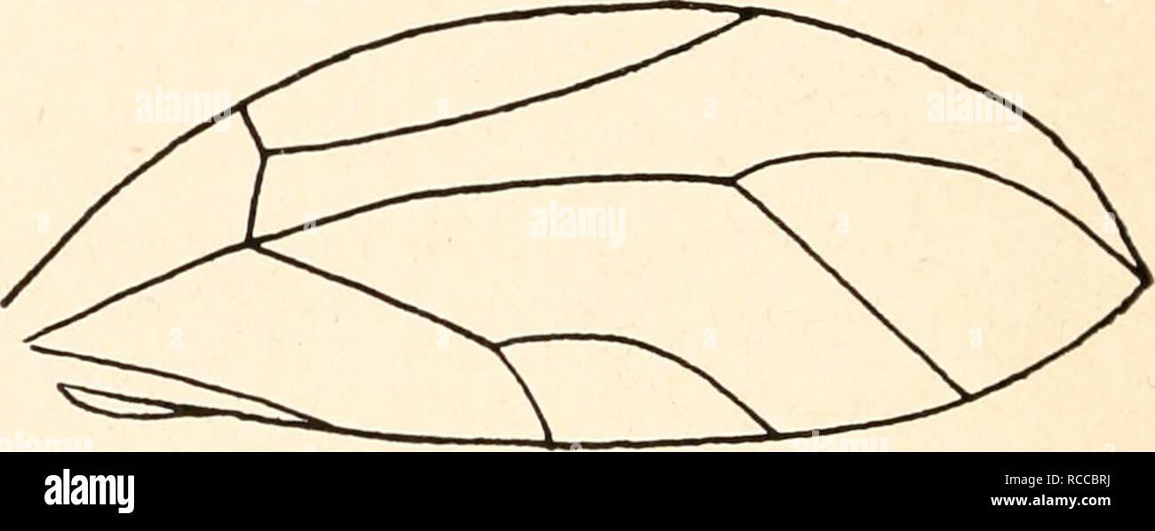 . Dr. H. G. Bronn's Klassen und Ordnungen des Thier-Reichs : wissenschaftlich dargestellt in Wort und Bild. Zoology; Mollusks; Arthropoda; Insects. Abb. 73. Vorderflügel von Homo toma ficus. — Nach Haupt.. Abb. 74. Vorderflügel von Trioza diospyri. Nach Cbawtobd. 7. Unterfamilie Triozinae Low. Triozinae Low 1879, End. 1920, Crawf. 1914. Triozaria Ferr. 1888, Put. 1899, Triozidae Edw. 1896, Trioza Forst., Cero- psylla Ril. Kopf mit den Augen auffallend breiter als das Pronotum, letzteres an den Seiten stark nach unten gebogen. Frons von den Genae bedeckt. Letztere in konische Vorsprünge ver- lä - Stock Image