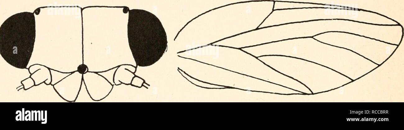 . Dr. H. G. Bronn's Klassen und Ordnungen des Thier-Reichs : wissenschaftlich dargestellt in Wort und Bild. Zoology; Mollusks; Arthropoda; Insects. VIII. b. y. 76 Psyllina 4. Unterfamilie Psyllinae Low. Psyllinae Low 1879, Crawf. 1914, End. 1920, Psyllaria Ferr. 1888, Put. 1899, Psyllidae Edw. 1896, PachypsylUni, Euphyllarini, Arytainini, PsylUni Crawf. 1914. Vertex quadratisch, halbkreisförmig oder dreieckig (Abb. 9a). Genae in verschieden geformte Loben ausgezogen. Frons durch die Genae bedeckt. Kopf mit den halbkugeligen Augen nur wenig breiter als das Pronotum; letzteres ist an den Seiten  - Stock Image