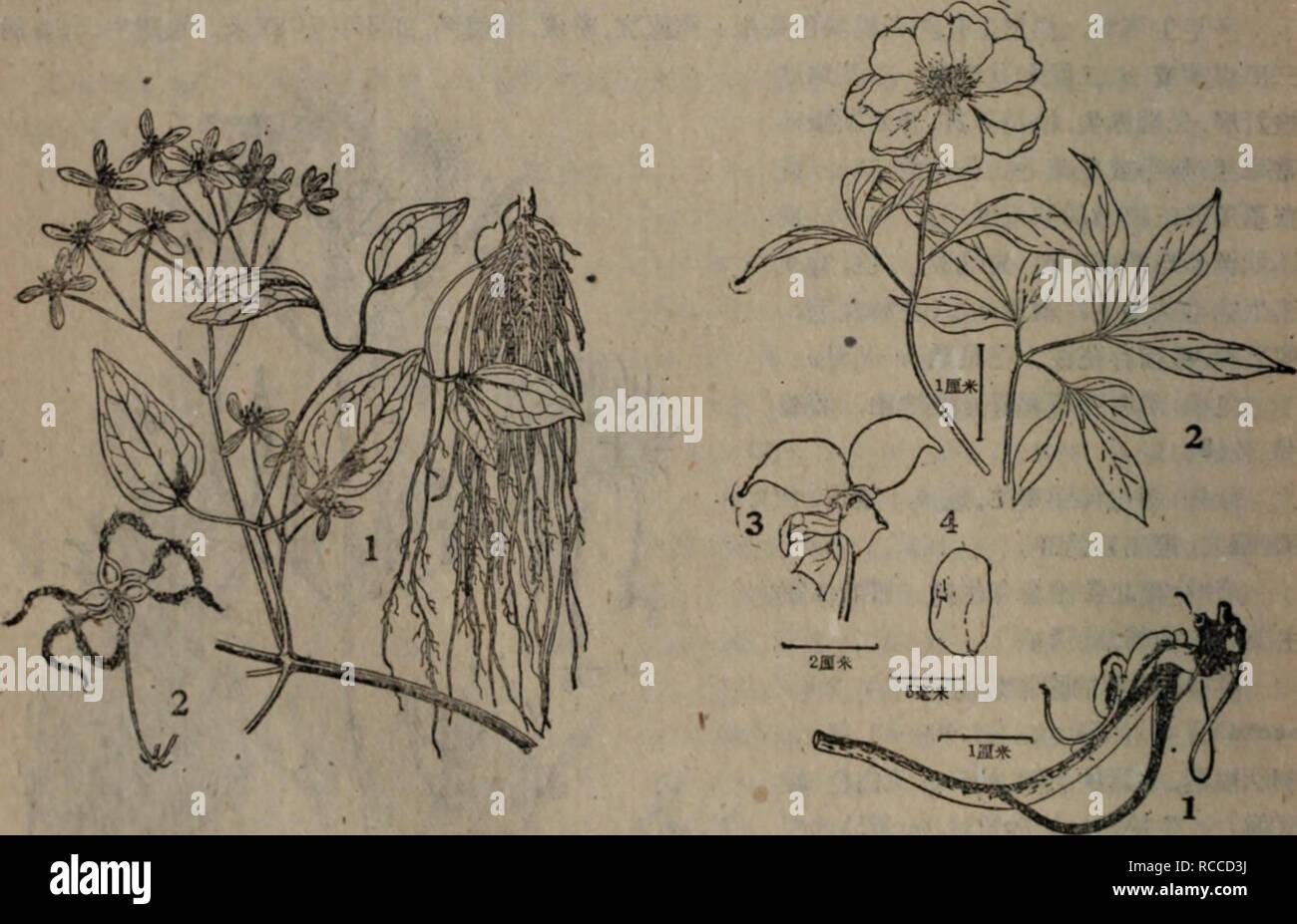 . dong bei yao yong zhi wu zhi. Botany. æ-¦ï¼,éè¾£æ¤ç-<é»SIæ±)ï¼é¢¨è»è(åæèå¨çº§ä»(é稱)ï¼é»â?^(ä¿ç¨±ï¼å86 Clematis manschorica Rupr. in Bull. tPhys.-Math. Acad. Petersb. XIV (1857) 514ï¼ Maxim. Prim. Fl. Amur. (1859) 10ï¼ Kom. Fl. Mansh. II (1903) 282; Krascheninnikov in Kora. Fl. URSS VII (1937) 319, tab. XX, fig. 11; Kitag. Lineam. Fl. Mansh. (1939) 218. å¤å¹´çèæ¬ãé¬æ ¹å¤èé·,æ·±é»è¤è²ã室èisæä¸æï¼ä»¥è¡æ²çèæææ´æ¼éè¿çæ¨çææ¢ä¸ï¼è åæ,è質ï¼å ·ç¨ãèç¾½çå ¨è£ï¼ç¬¬ä¸æ¬¡è£çç¸éï¼Mæä¸åºçå ¨è£ï¼å°è£çç¡!^æææï¼ç¨ç²é©è´«ï¼ æ«éçåµå½¢ï¼åºé½må½¢æå¿å½¢,å ç«¯å ·ç-æ¼å°ï¼èé¢jg£çæ¯,å ·é常å¸èµ·çæ;ä¸è常ç²5åºãè - Stock Image