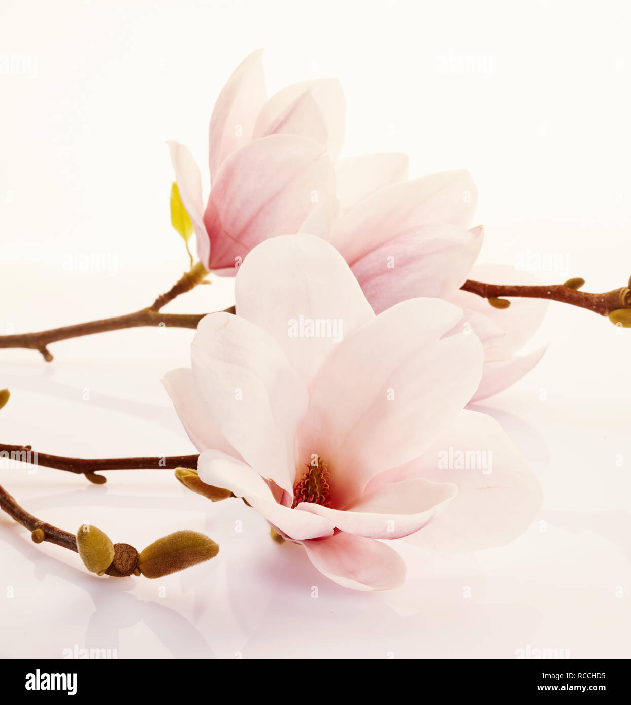 Fragrant Fresh Pink Magnolia Flowers Symbolic Of Spring Over A