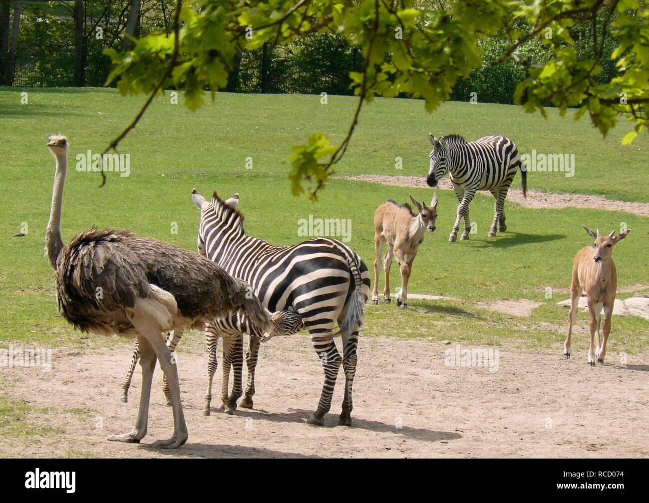 Afrika-Savanne Tiergarten Nürnberg. - Stock Image