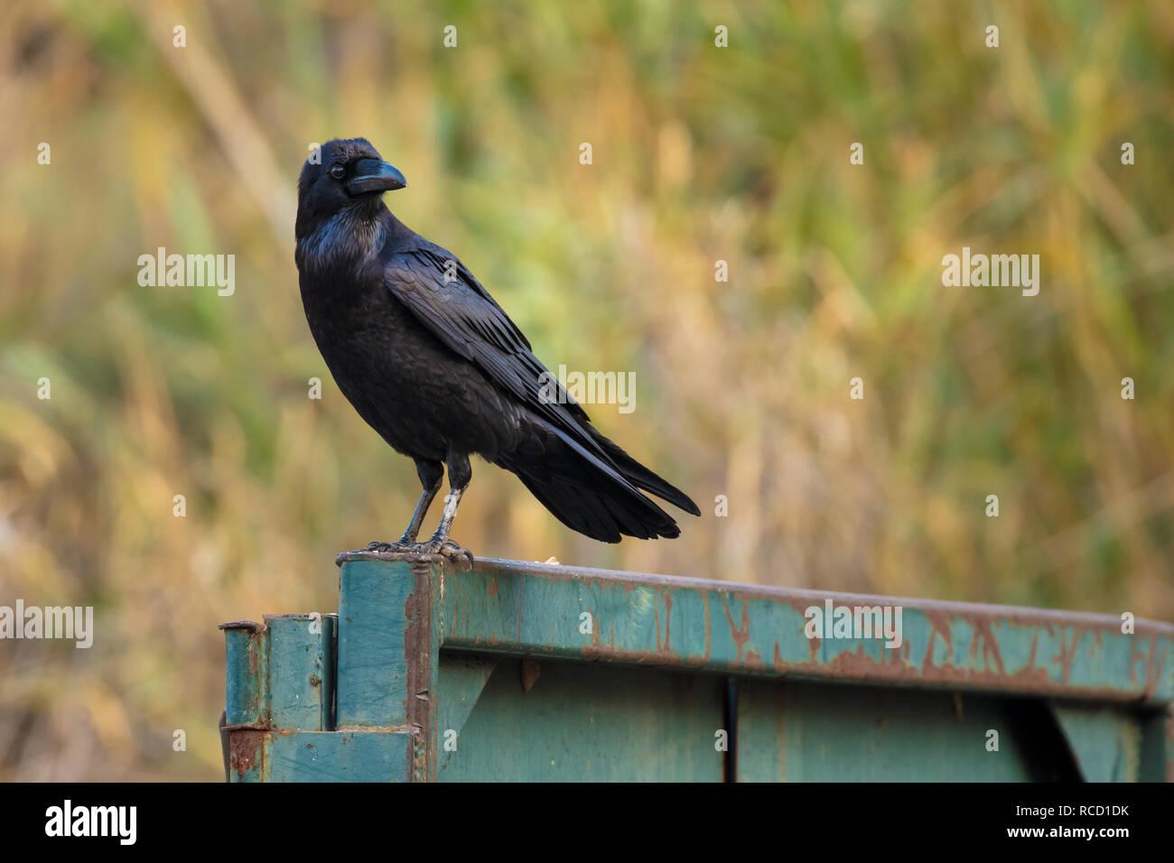 Crow on metal Stock Photo