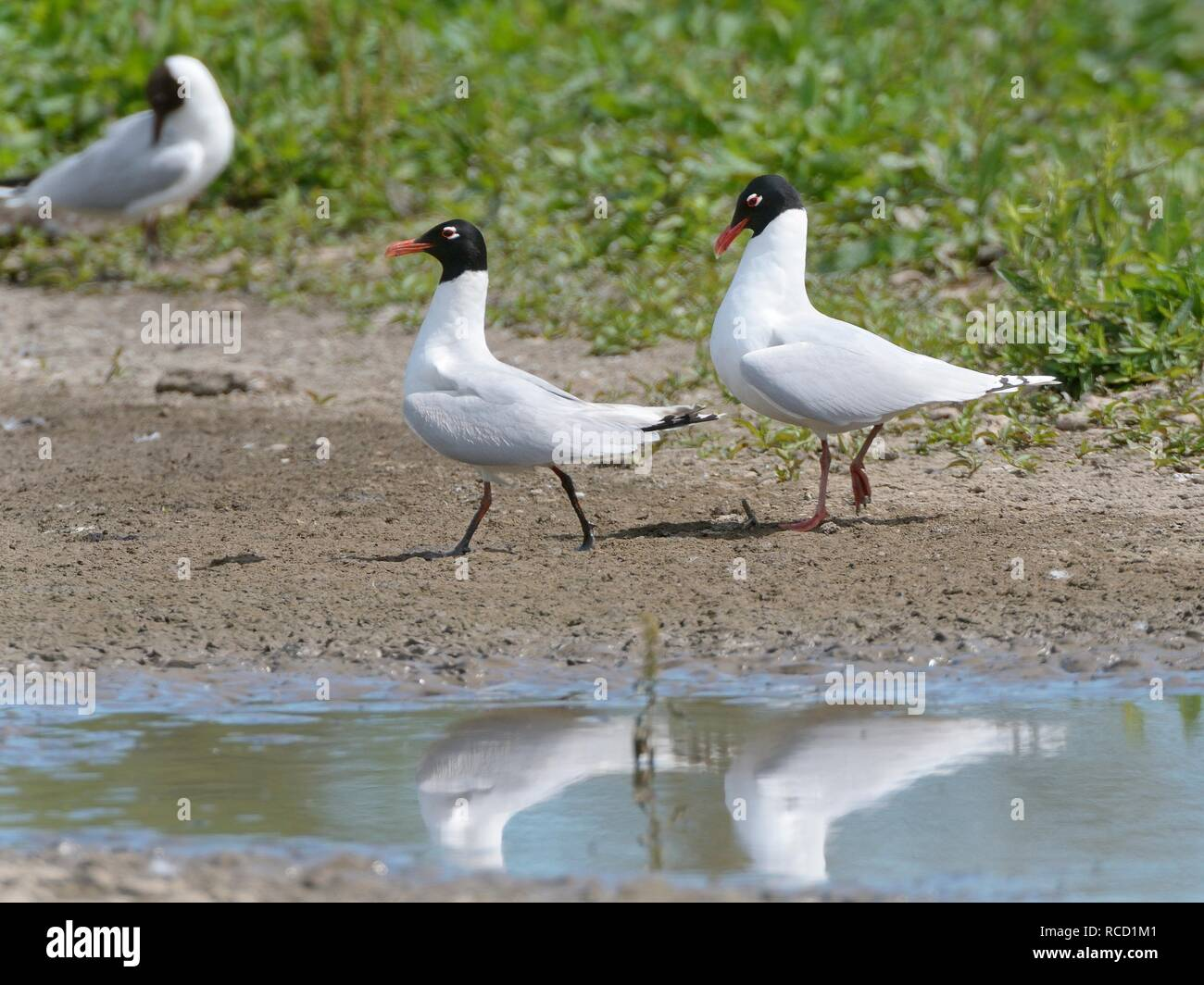 Mediterranean gull (Larus melanocephalus) pair courting on a lake shore, walking in unison and head-bowing, Gloucestershire, UK, June - Stock Image