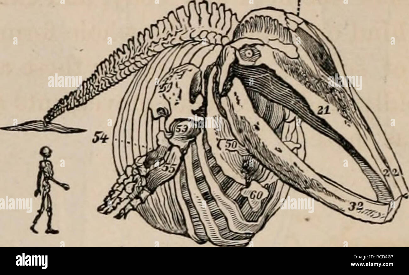 . Elements of zoölogy : a textbook. Zoology. 118 VERTEBEATA: MAMMALIA. enormous dimensions, even one hundred feet in length (Fig. 127). To the Mysticetes belong also the Eight Whales or BalsenidiBe, which have the skull much arched FIG. 127. Tlo. Fore-shortened view of Skeleton of a Whale, Balcennptera boops, showing its relative size as compared with Man. and provided with long baleen or whale-bone plates finely fringed on their inner edges (Figs. 124:, 126). This ar- rangement is adapted for securing the food of these whales, which consists of small marine zoophytes, mollusks, and crustacean - Stock Image