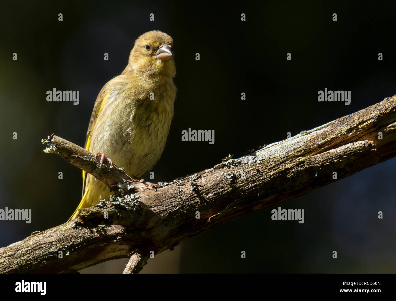greenfinch sitting on a twig - Stock Image