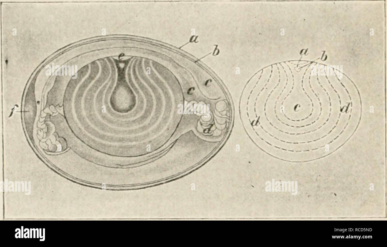 . The diseases of poultry. 146 PISKASl-S OK I'Ori.TRV The e<^g advaucc-s into the more glandular and vas- cular part of the oviduct and here two otlier layers of albumen are secreted and deposited upon it. Each of these is thinner and more watery than the one which preceded. When the narrow part of tl:e oviduct is reached, two denser layers of albumen are excreted forming the mcmbrana piilaininis. Enclosed in this manner, having acquired its ovate form and with the. Fig-. 37.—Section of fowl's eg-g-; «, shell:/', tnenibrana putaminis; ir^ laversof soft albumen; ./. clialaziv; <-, cicatr - Stock Image