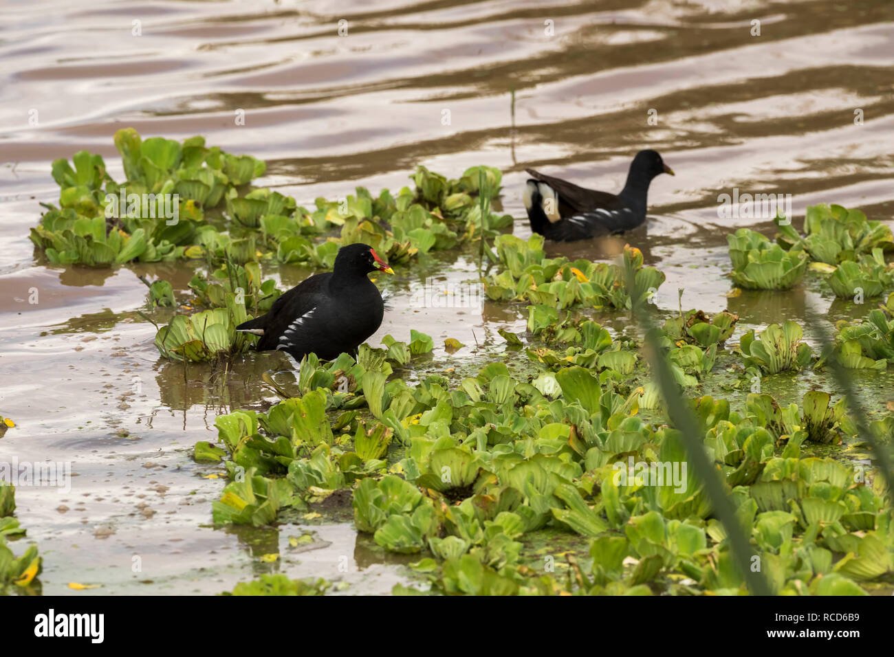 Common Moorhen (Gallinula chloropus) in search of a meal in Lake Manyara National Park, Tanzania - Stock Image