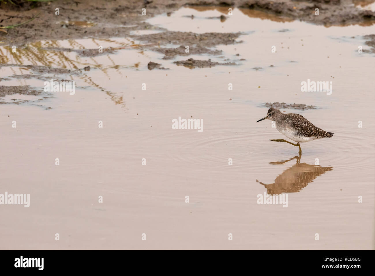 Wood Sandpiper (Tringa glareola) looking for food in Lake Manyara National Park, Tanzania - Stock Image