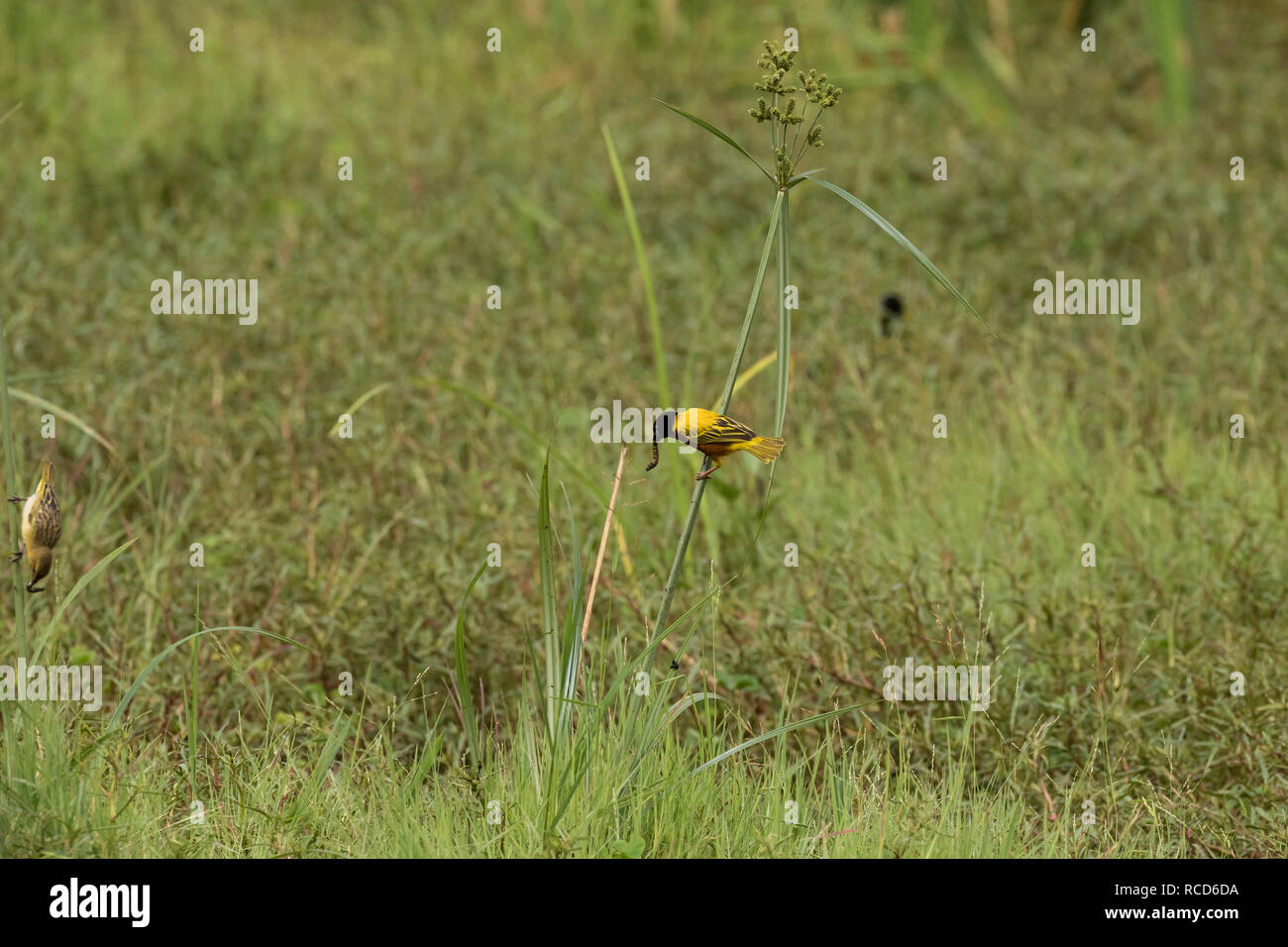 Golden-backed Weaver (Ploceus jacksoni) eating while perched on a reed in Lake Manyara National Park, Tanzania - Stock Image