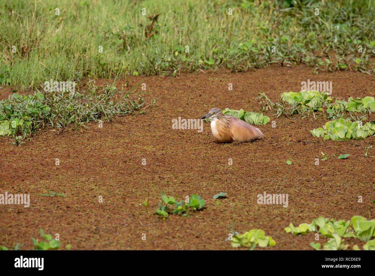Squacco Heron (Ardeola ralloides) foraging in Lake Manyara National Park, Tanzania - Stock Image