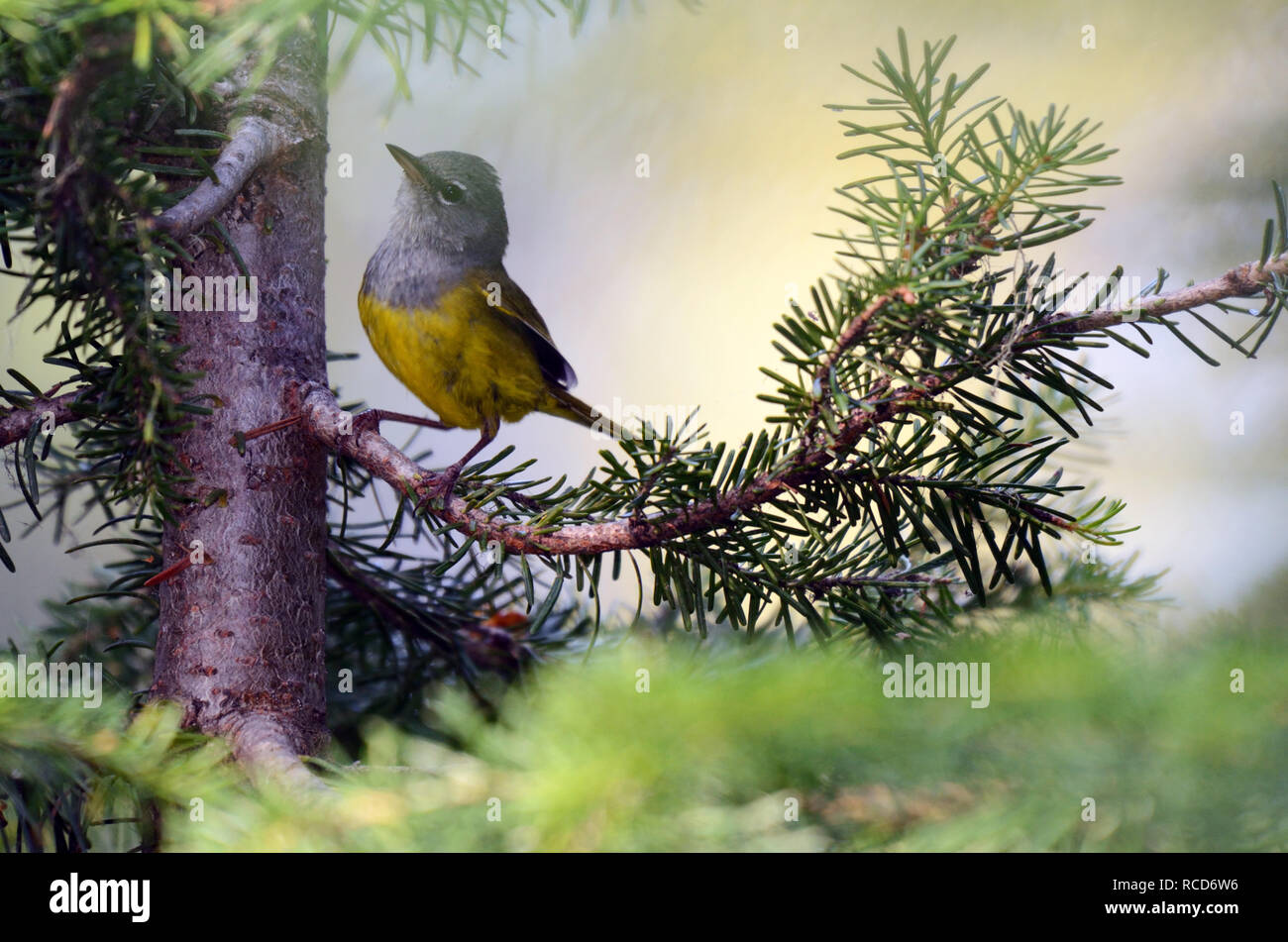 MacGillivray's Warbler feeding in a spruce fir forest in the Northwest Peak Scenic Area in summer. Purcell Mountains, northwest Montana. - Stock Image
