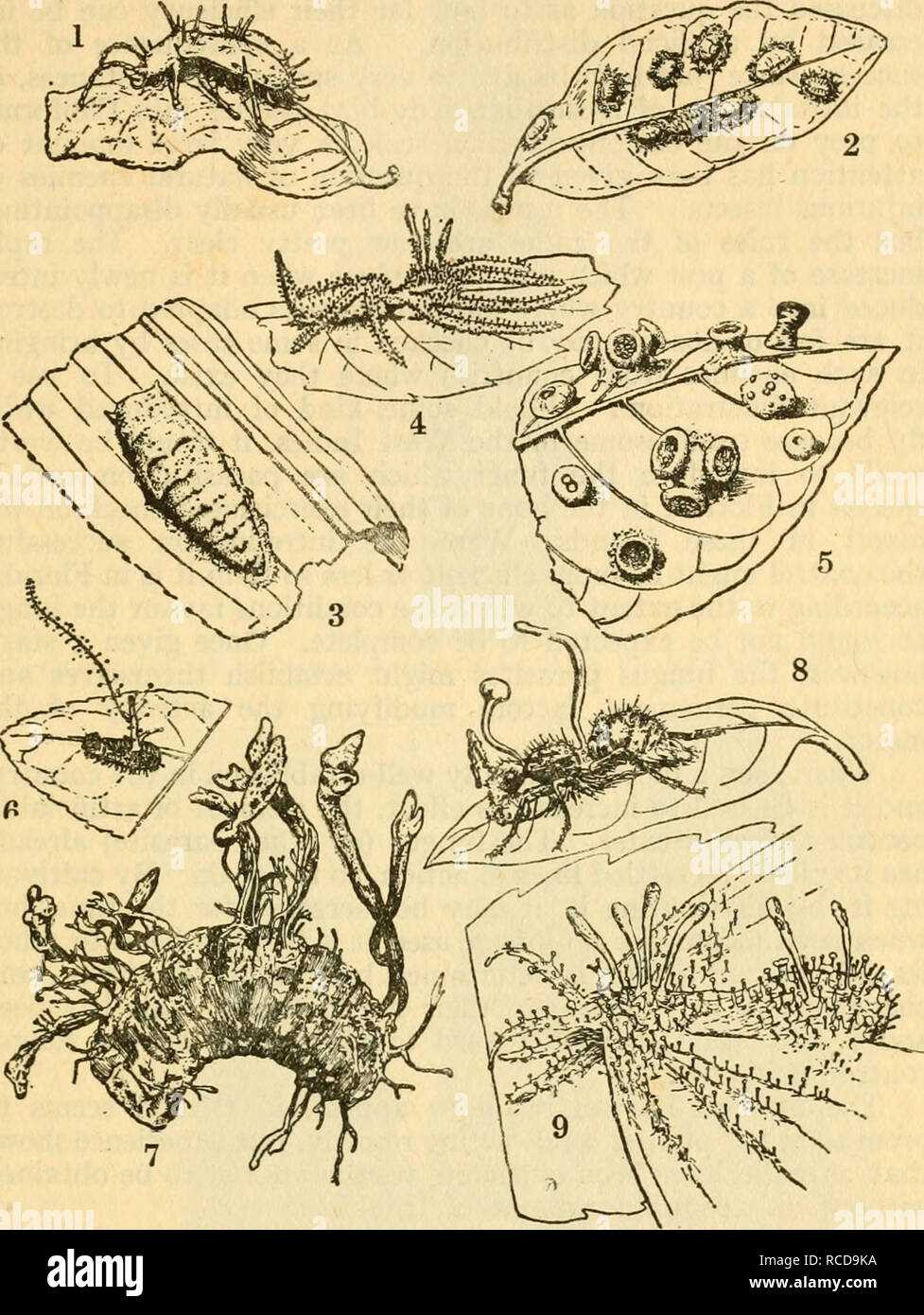 . Diseases of crop-plants in the Lesser Antilles. Tropical plants; Plant diseases. ENTOMOGENOUS FUNGI 75. Fig. 19 ENTOMOGENOUS FuNGI 1 HiRsuTELLA ENTOMOPHiLA on a beetle (Colaspis sp.). 2 Cephalosporium Lecanii on Coccus sp. 3 Metarrhizium Anisopliae on a Homopteron, probably a Jassid. 4 Gibellula arachnophila on a spider. 5 Aschersonia turbinata on a scale insect. 6 Gibellula sp. 7 CoRDYCEPS sp. on larva of Rhinoceros Beetle (Strategus). 8 Cordyceps Lloydii on an ant (Campanotus sp.). 9 IsARiA Sphingum ou a moth.. Please note that these images are extracted from scanned page images that may h - Stock Image
