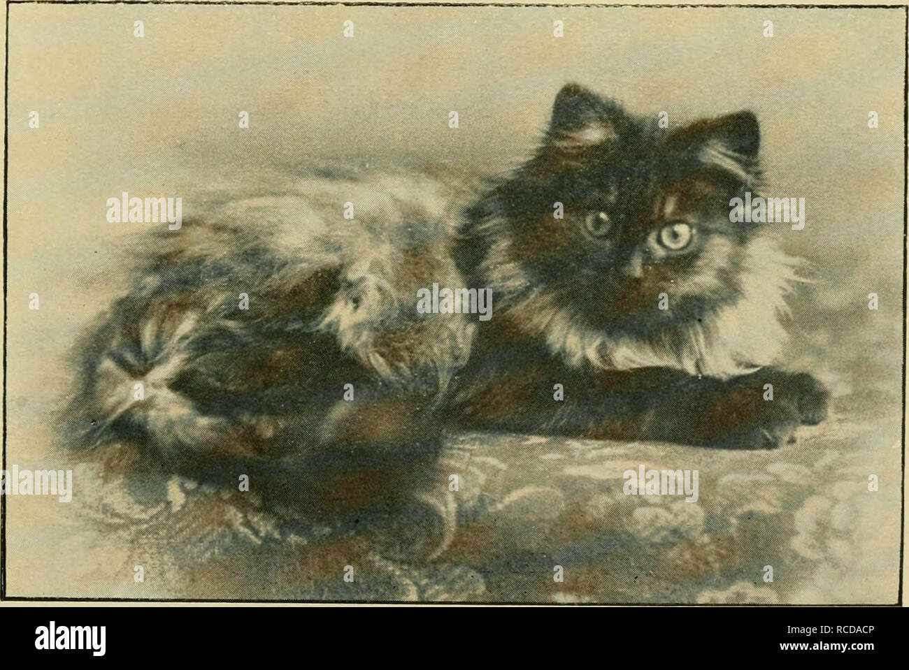 . The diseases of the cat. Cats. BLACK AND WHITE NEUTER ' MEPHY' (Old Type) The Property of Mrs. A. M. Stead. (From a photograph by E. Norton Collins, S. Norwood.). 'CHAMPION JUDGE BRUIN.' Winner of numerous Firsts, many Specials, and Medal. The Property of Miss O. J. M. Rose. (From a photograph by Nesbitt and Co.. Kilburn.). Please note that these images are extracted from scanned page images that may have been digitally enhanced for readability - coloration and appearance of these illustrations may not perfectly resemble the original work.. Hill, John Woodroffe, d. 1909. New York : W. R. Jen - Stock Image
