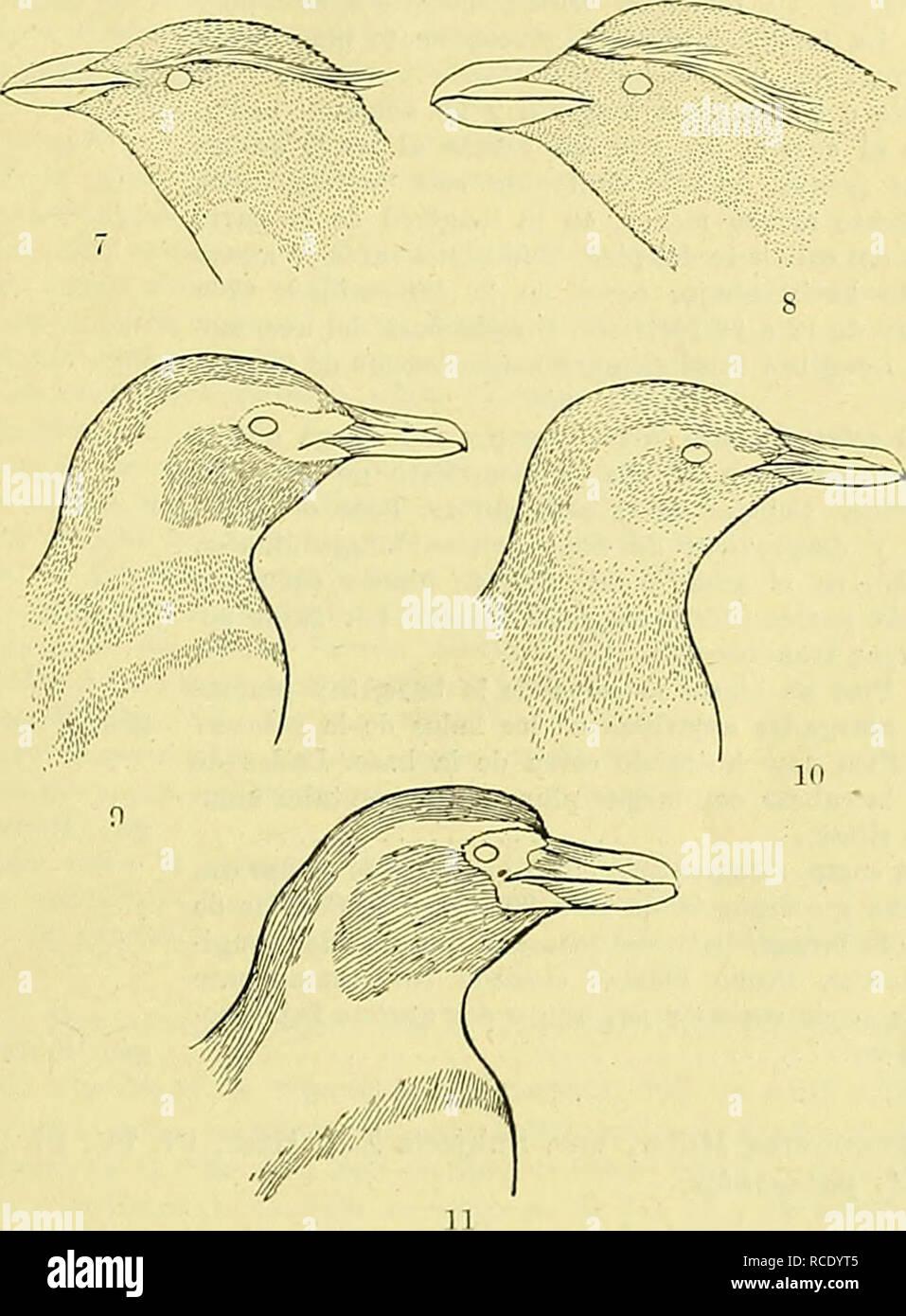 . El Hornero. Birds. I 1920 R. Dabbene: Pingüines de las cosías e islas argentinas Durante la época de la reproducción, se reúnen en número extraordinario, pudiéndose contar por centenares de miles los individuos que componen las roke- rías establecidas genei-almente en las islas más remotas esparcidas al sur de los océanos Indico y Atlántico y sobre las playas desoladas del continente antartico.. 7. Etiditiites cliri/Hocoiite iiigñvevtis Goulíl. 8. Eudtjptea chrijsolophus (Brandt). 9. SpheiiisciiA mttgellauici/s ' (Forster) (adulto). 10. SpheniscvJi magttUanicua (Forster) (joven). 11. Sphenis - Stock Image