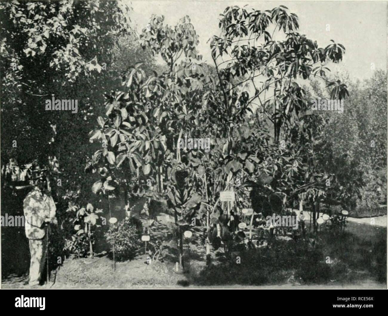 El Jardín Botánico De Buenos Aires 131 Gumíferas Y Resinosas Indígenas Acacia Cavenia Monilifera Araucaria