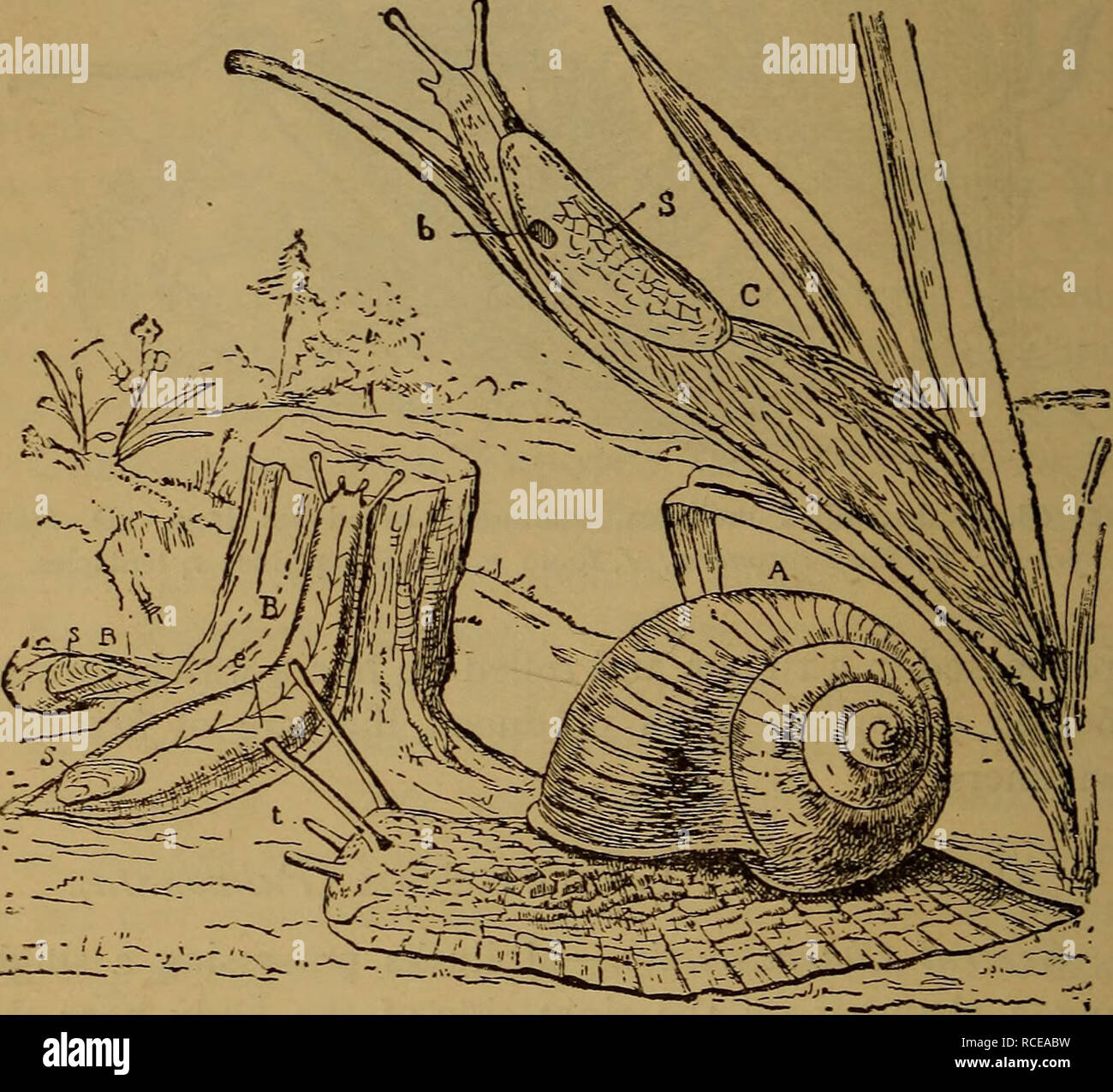 . Elements of zoölogy. Zoology. 66 MOLLUSC A. snails, interesting from the great variations of the shell. The eggs are laid in capsules (Fig. 69), in a jelly-like mass, late in the spring. In the winter they hibernate in the mud ; 320 species are known. Land-Snails (Heliadce).—Three thousand three hun- dred and thirty-two species of these are known in various. FlG. 70.—Air-breathing gasteropods : Snails and slugs. A, garden snail {Helix) ; B, B, slug Testacella—one disappeai-ing into the ground, and only the tail showing ; C, the great gray slug (Limax) ; s, shell; t, ten- tacles ; e, eyes ; b Stock Photo