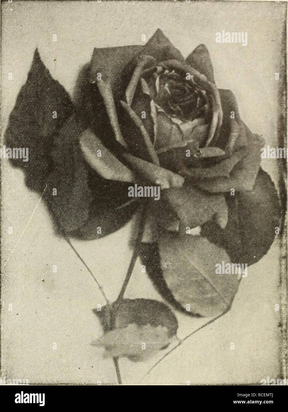 cd5ad365 . Dingee guide to rose culture : for more than 60 years an authority. .  Papa Gontier Perle dea Jardins Perle des Jardins Pearl of the Garden The  color is a ...