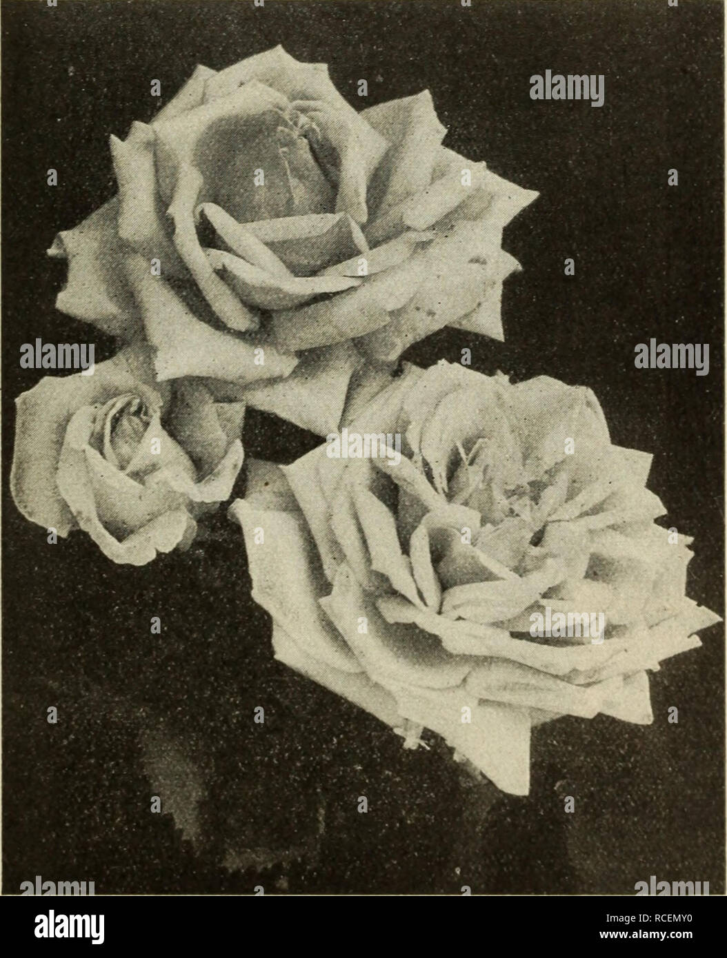 fc208b6d . Dingee guide to rose culture : for more than 60 years an authority.  Helena Cambier. Florence Pemberton Florence Pemberton Distinctive creamy  white, ...