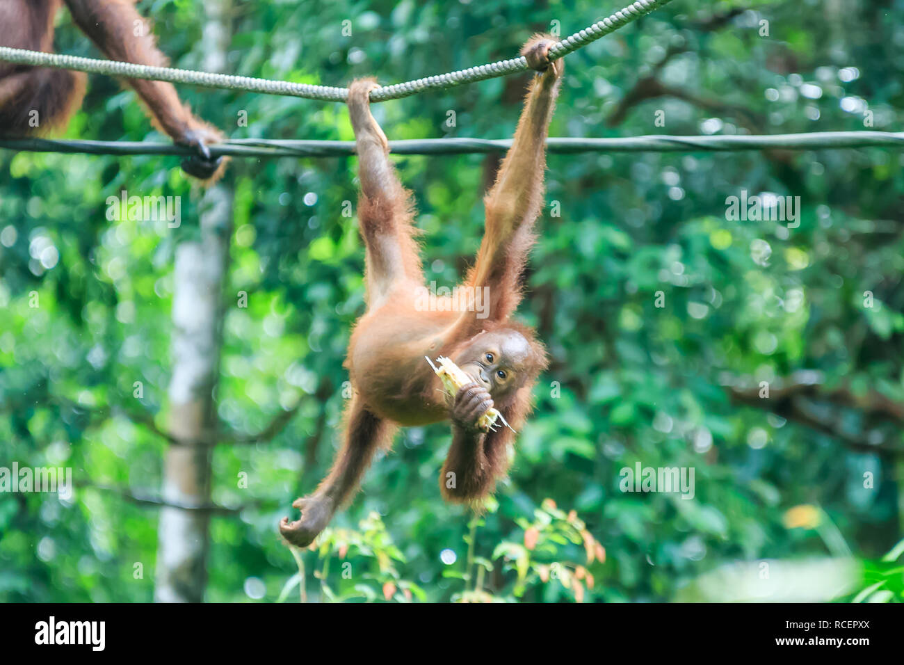 orangutans or pongo pygmaeus is the only asian great found on the island of Borneo and Sumatra Stock Photo