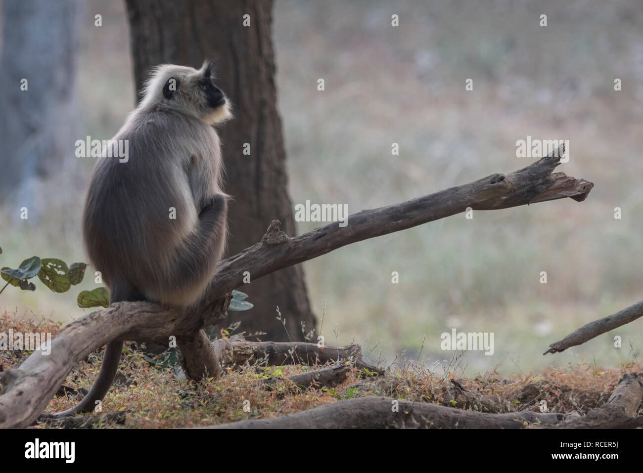 A gray langur sitting on a tree trunk in Bandhavgarth national park , India - Stock Image