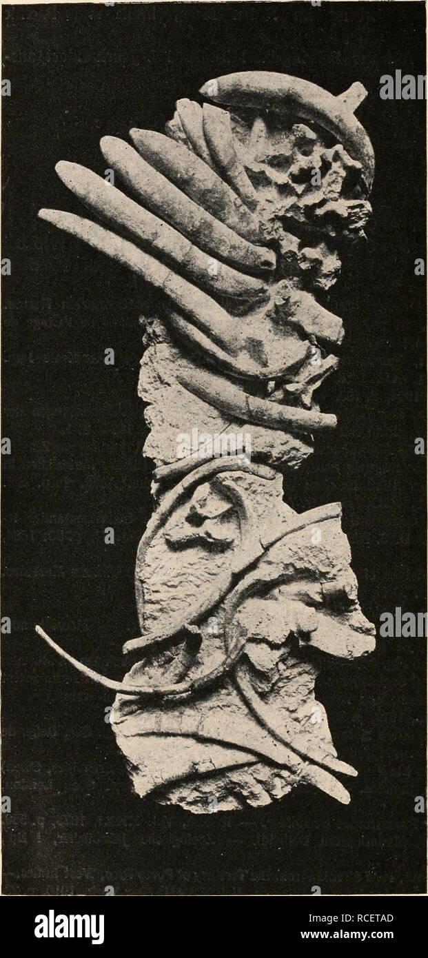 . Die stämme der wirbeltiere. Evolution; Paleontology; Vertebrates. 836 Die Stämme der Wirbeltiere.. Fig. 633. Rumpfskelett von Eotherium aegyp- tiacum Ow., aus dem Mitteleozän des Mokattam bei Kairo, stark ver- kleinert. Im vor- deren Teile des Rumpfes (in der Figur oben) sind die Rippen stark pachyostotisch verdickt, im hin- teren Teile da- gegen normal. (Original.). Please note that these images are extracted from scanned page images that may have been digitally enhanced for readability - coloration and appearance of these illustrations may not perfectly resemble the original work.. Abel, O - Stock Image