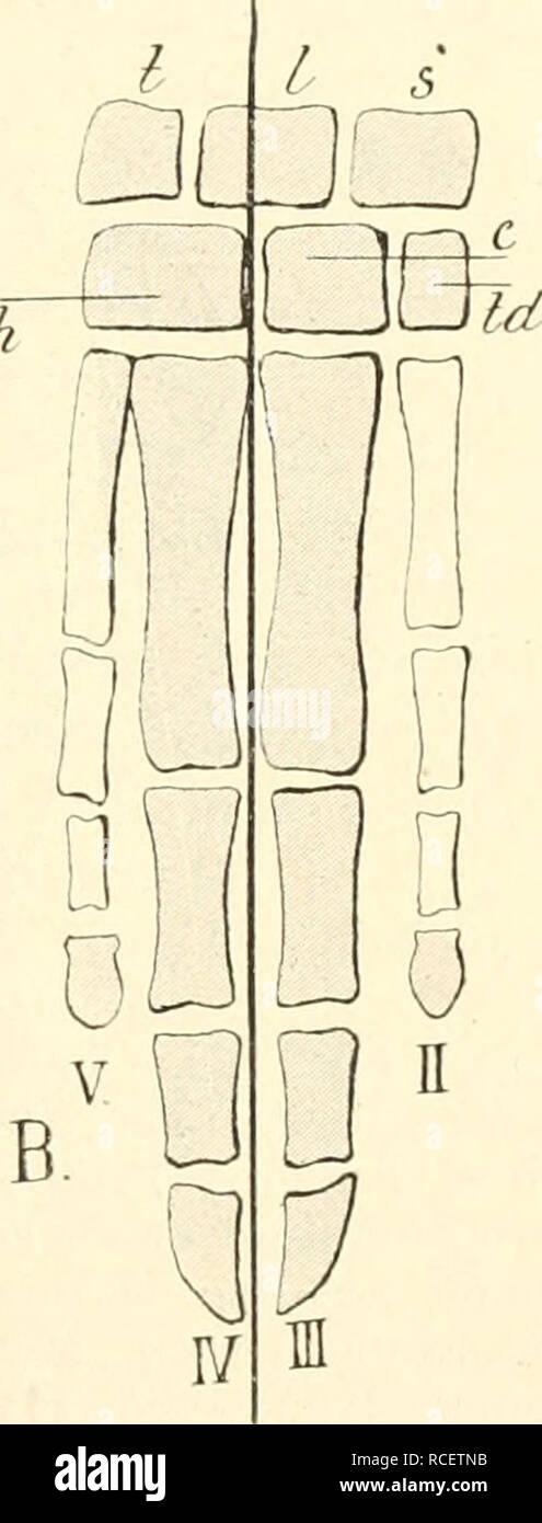 . Die säugetiere. Einführung in die anatomie und systematik der recenten und fossilen Mammalia. Anatomy, Comparative; Mammals. Fig. 428. Diagramm der Knochen der rechten Hand A eines Perisso- daktylen (Pferd), B eines Artiodak- tylen (Rind). Die schattierten Teile sind diejenigen, die sich von der ur- sprünglich tun ffinger igen Hand in der definitiven erhalten. Nach Flower. ^ Scaphoid; /Lunatum; /*Triquetrum; / unter td Trapezium; td Trapczoid; C Capitatum; h Hamatum. Die Ex- tremitätenachse ist durch die dicke Linie dargestellt. und eine Sagittalebene durch dieselbe gelegt, teilt den Finger  Stock Photo