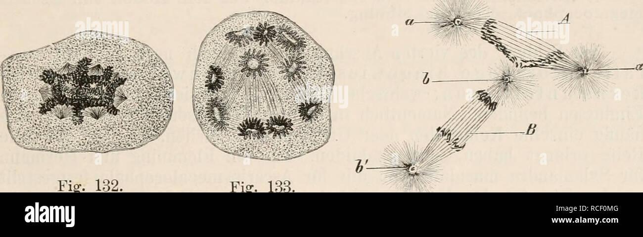 . Die Zelle und die Gewebe. Grundzüge der Allgemeinen Anatomie und Physiologie. IV. Die Fortpflanzung der Zelle auf dem Wege der Theilung. 197 an den Riesenzellen des Knochenmarks von Denys und an den Riesenzellen der embryonalen Säugethierleber von Kostanecki (VI. 46) be- obachtet worden sind. Im Verhältniss zu den zahlreichen Kernen werden auch viele Centralkörperchen in der Zelle enthalten seia. Wenn daher das ganze Kernaggregat in Theilung eintritt, werden sich viele Polstrahluugen entwickeln müssen, zwischen denen sich dann die Kernsegmente, deren Zahl unter Umständen mehrere hundert betr - Stock Image