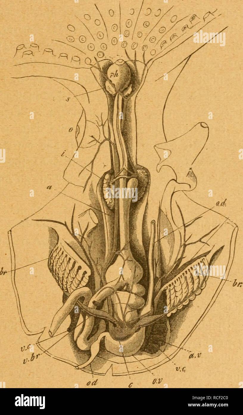 Die Weich und Schaltiere gemeinfasslich Dargestellt Mollusks — 43