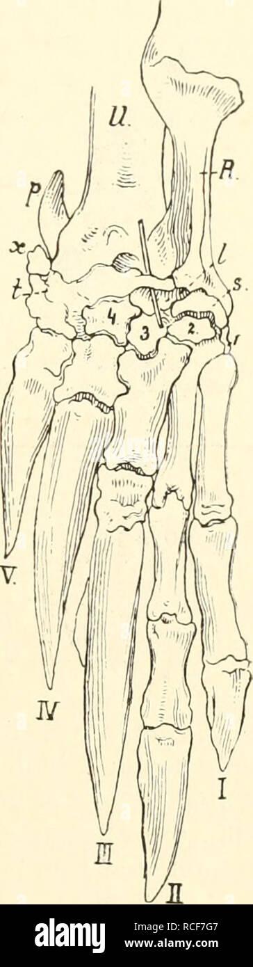 . Die säugetiere. Einführung in die anatomie und systematik der recenten und fossilen Mammalia. Anatomy, Comparative; Mammals. Xenarthra, Körperbau. 441 unterscheiden. Bei Tatiisia ist der 1. und 4. Finger gleichlang, aber kürzer als der 2. und o., die fast gleichlang sind. Bei allen übiügen Gürteltieren ist der 1. und 2. P'inger schlank. Beide haben die Tendenz, die in Priodontes ihi- Maximum erreicht, gleichlang zu werden, aber in Dicke ganz zurück- zutreten gegenüber dem 8. und 4. Finger, die außer- ordentlich breite, aber kurze Metacarpalia und Pha- langen bekommen und Neigung haben, zu un - Stock Image