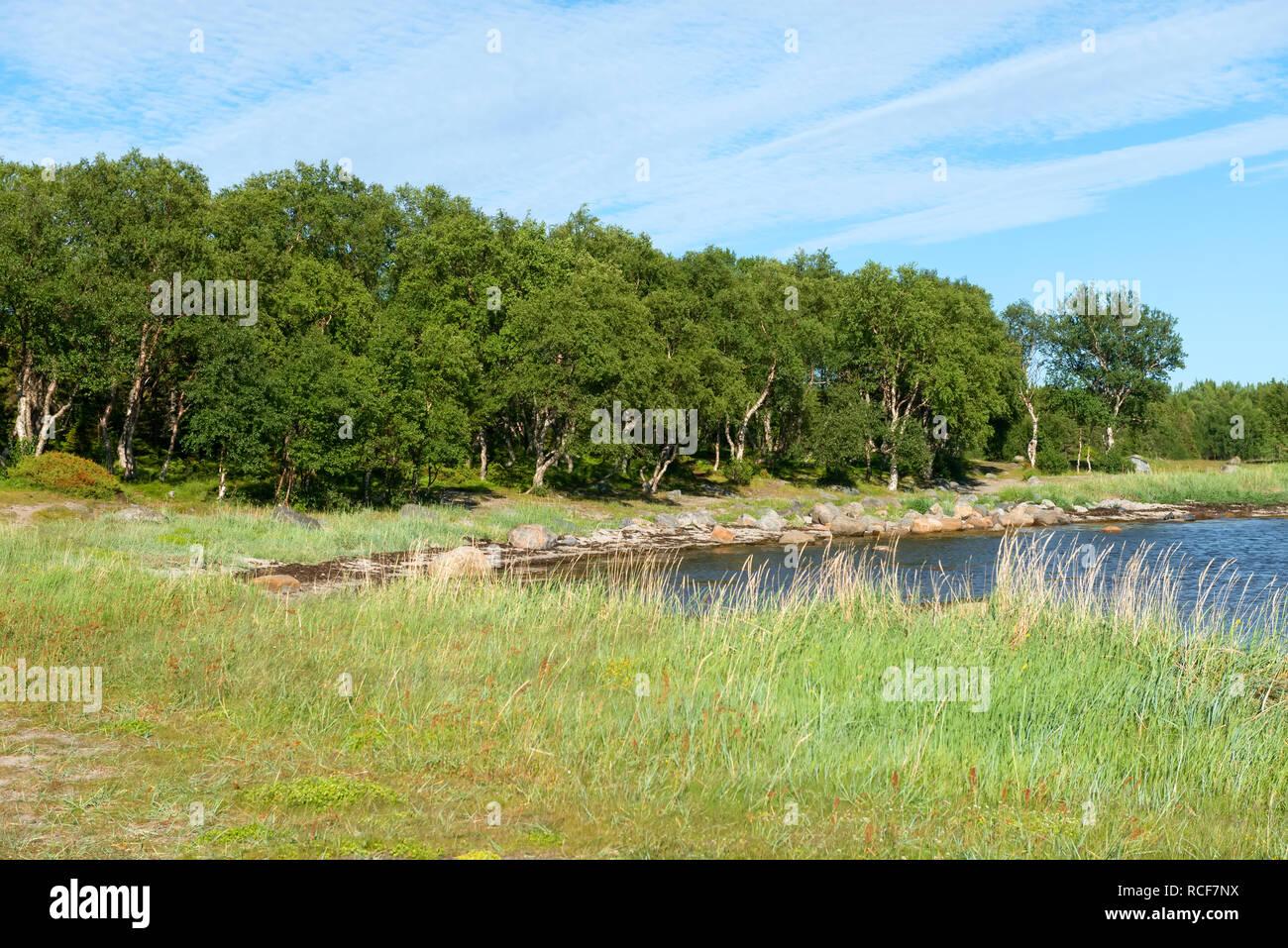 Solovki, Karelia. Dancing birches on Cape Labyrinths on the Big Solovetsky Island - Stock Image