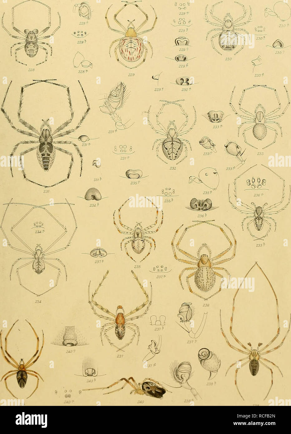 . Die spinnen Amerikas ... Spiders; Entomology. Bd. R^ Tab. XVI. Please note that these images are extracted from scanned page images that may have been digitally enhanced for readability - coloration and appearance of these illustrations may not perfectly resemble the original work.. Keyserling, Eugen, Graf von, 1833-1889; Marx, George, 1838-1895. Nürnberg, Verlag von Bauer & Raspe (E. Kuster) Stock Photo