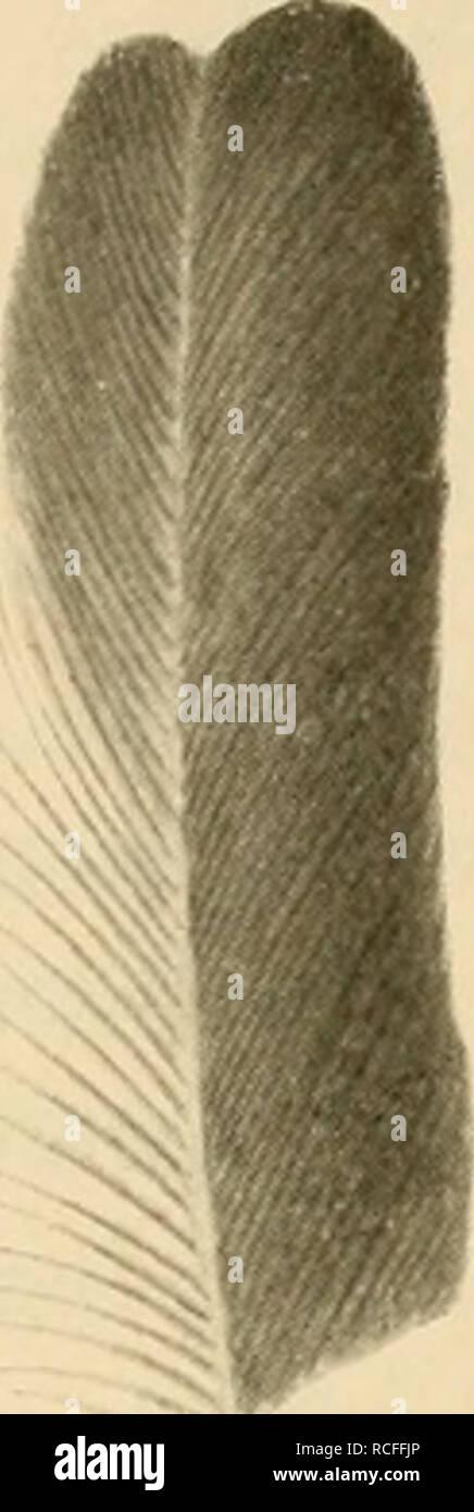 . Die Vögel; Handbuch der systematischen Ornithologie. Birds. 354 Owcines. Singvögel.. kürzer als Handdecken, zweite und dritte am längsten, Arm schwingen beim alten o^ am Grunde der Aussent'aline mit längeren, zerschlissenen und zurückgehogenen Strahlen, sonst keine auffälligen Federn. Geschlechter verschieden gefärbt. 1 Art. P. spiloj)fera (Yig.) (Fig. 188). Kehle rotbraun, Federn von Kopf und Nacken grau, schwärzlich schuppenartig umsäumt, die des Rückens braun umsäumt, Flügeldecken dunkelbraun, grau umsäumt, Handdecken und Schwingen glänzend schwarz, weisser Flügelspiegel, Unterkörper rost Stock Photo
