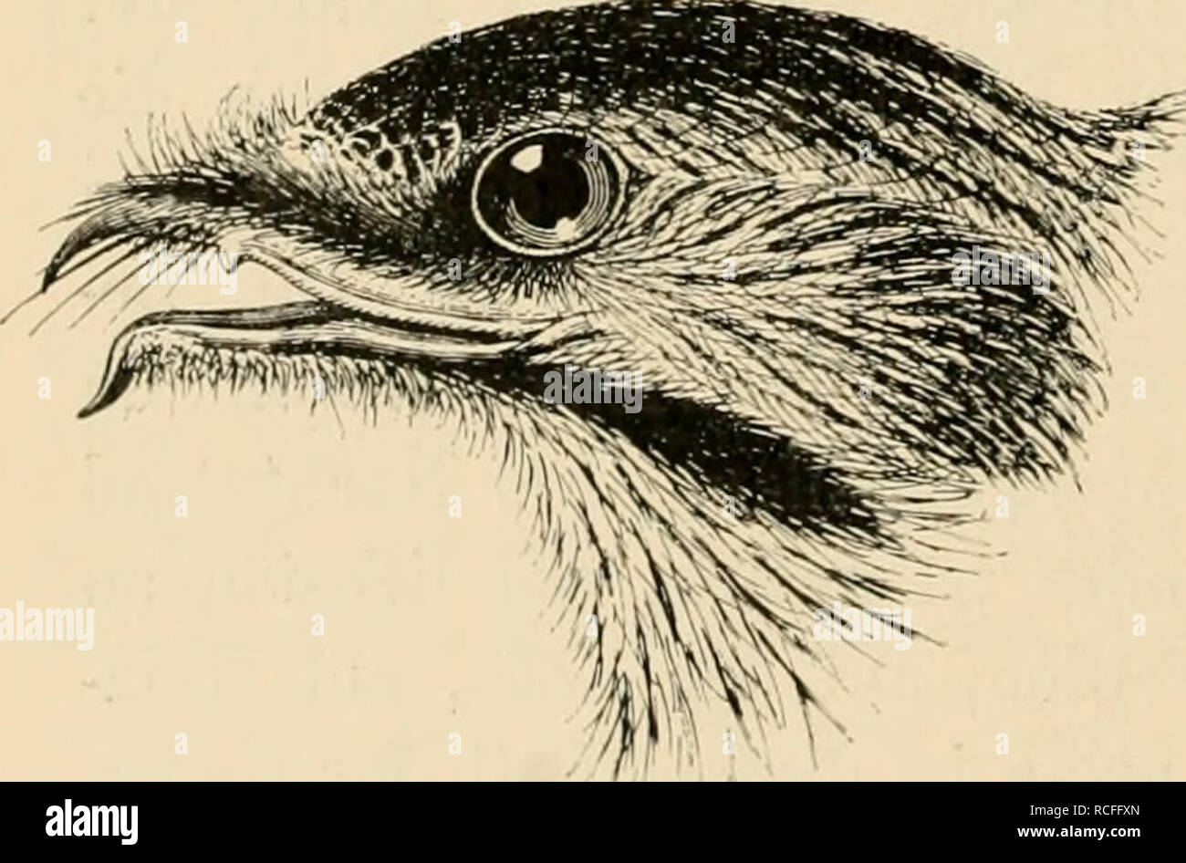 . Die Vögel; Handbuch der systematischen Ornithologie. Birds. 150 Strisores. Schwirrvögel. Käfer und Nachtschmetterlinge, die sie im Fluge fangen. Die Stimme besteht in kurzen, tiefen, schnurrenden und schwingenden Tönen, die oft zu längeren Strophen und in verschiedenen Rhythmen aneinander gereiht werden; manche haben auch hellere einsilbige Locktöne. Wegen der kurzen Füsse laufen sie trippelnd und bewegen sich wenig auf der Erde. Ein eigentliches Nest bauen sie nicht, sondern legen ihre Eier, in der Regel 2, die walzenförmig und auf weissem, seltener rötlichem Grunde grau gefleckt und gewölk - Stock Image